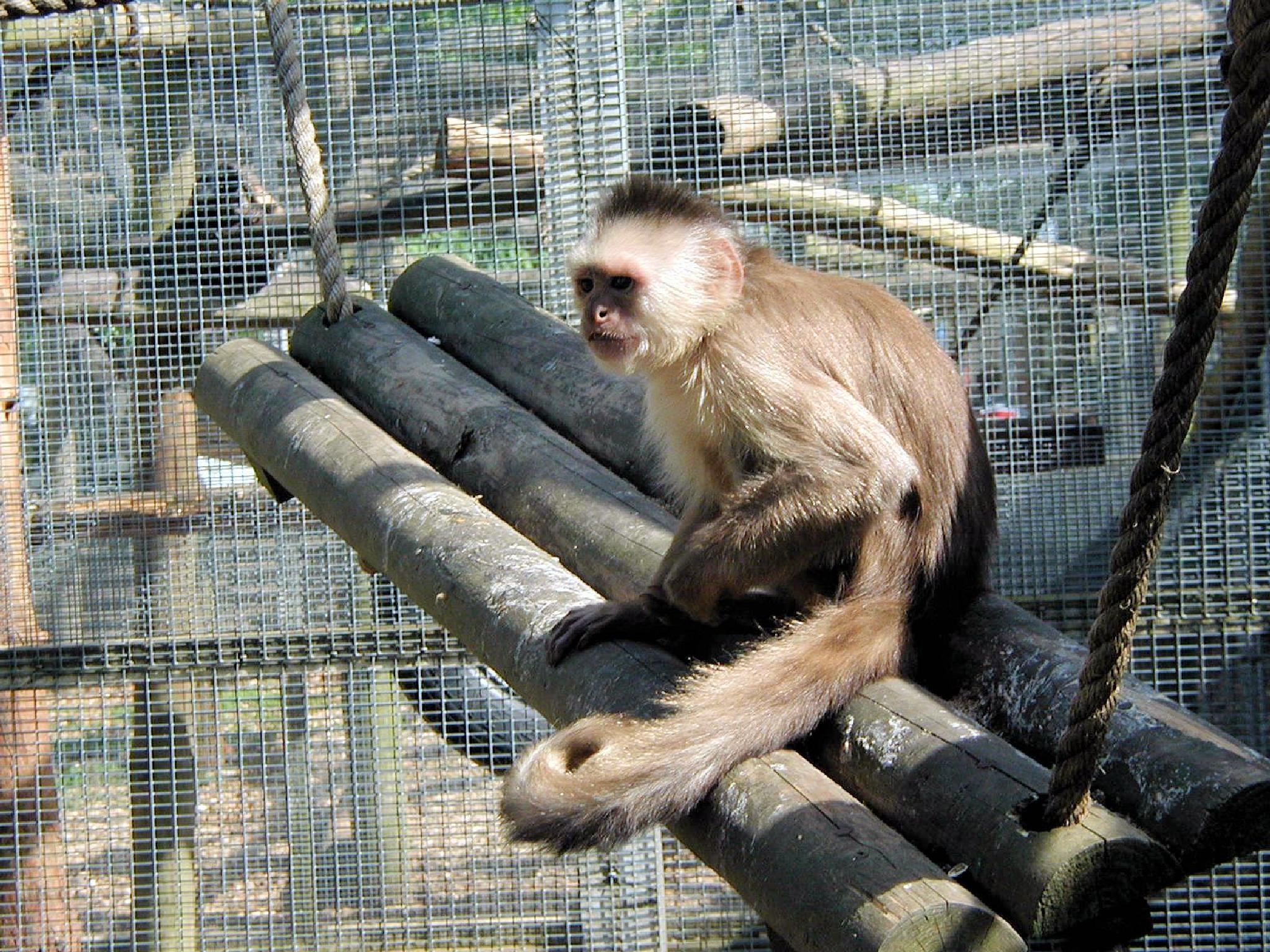 Gibbon at Twycross Zoo by Graham Wood Photo Collection