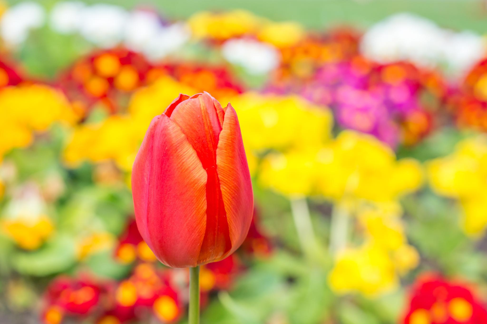Tulip  by Iqbal Ahmed