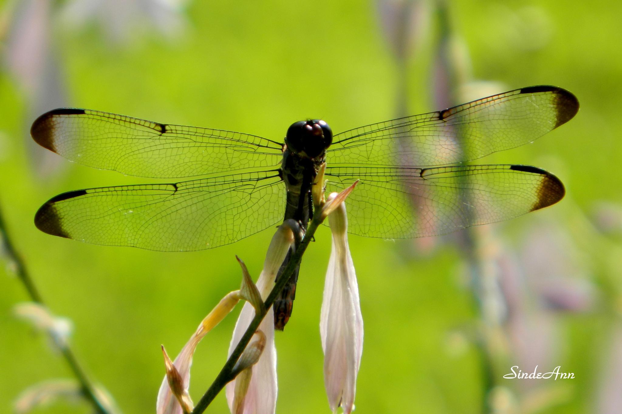 Dragonfly by SindeAnn
