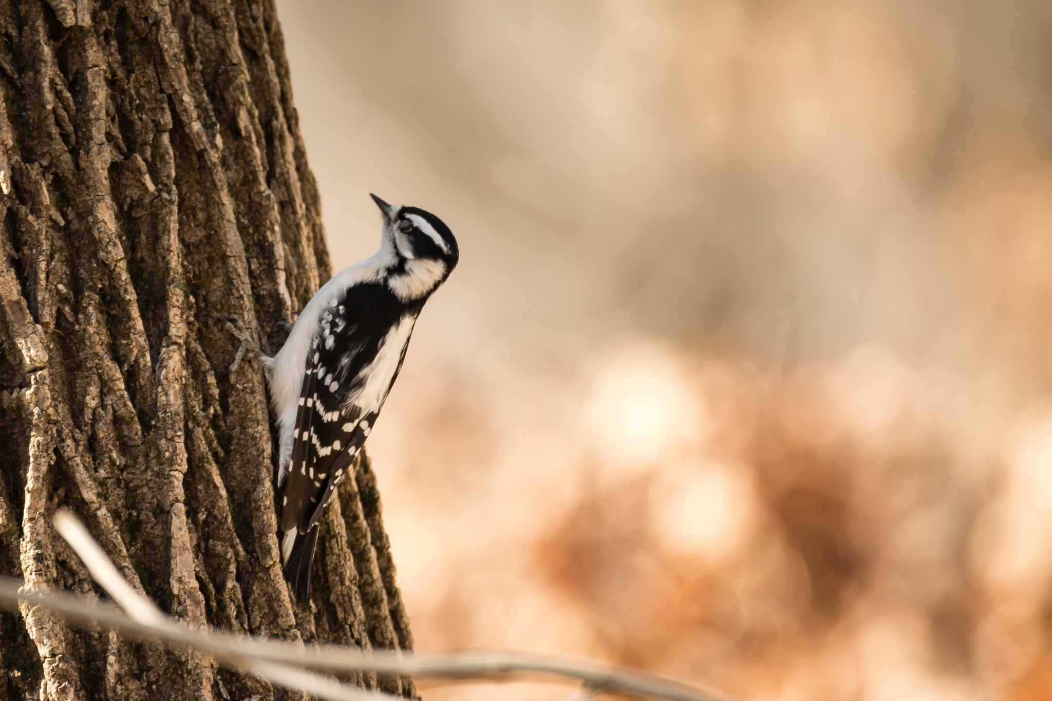 Downy Woodpecker by KarenSeddon