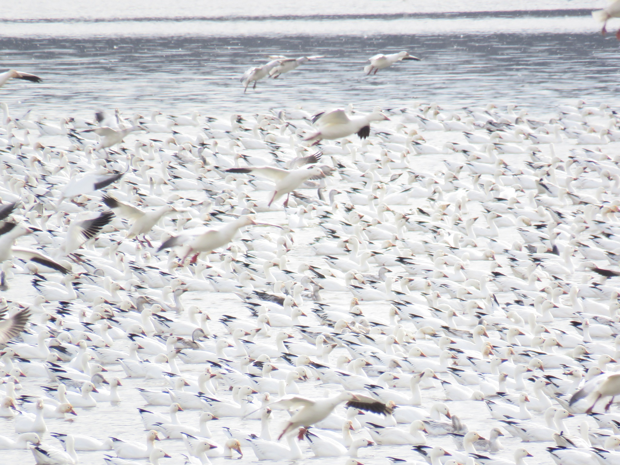 Snow Geese in Flight by janet.fisher.503