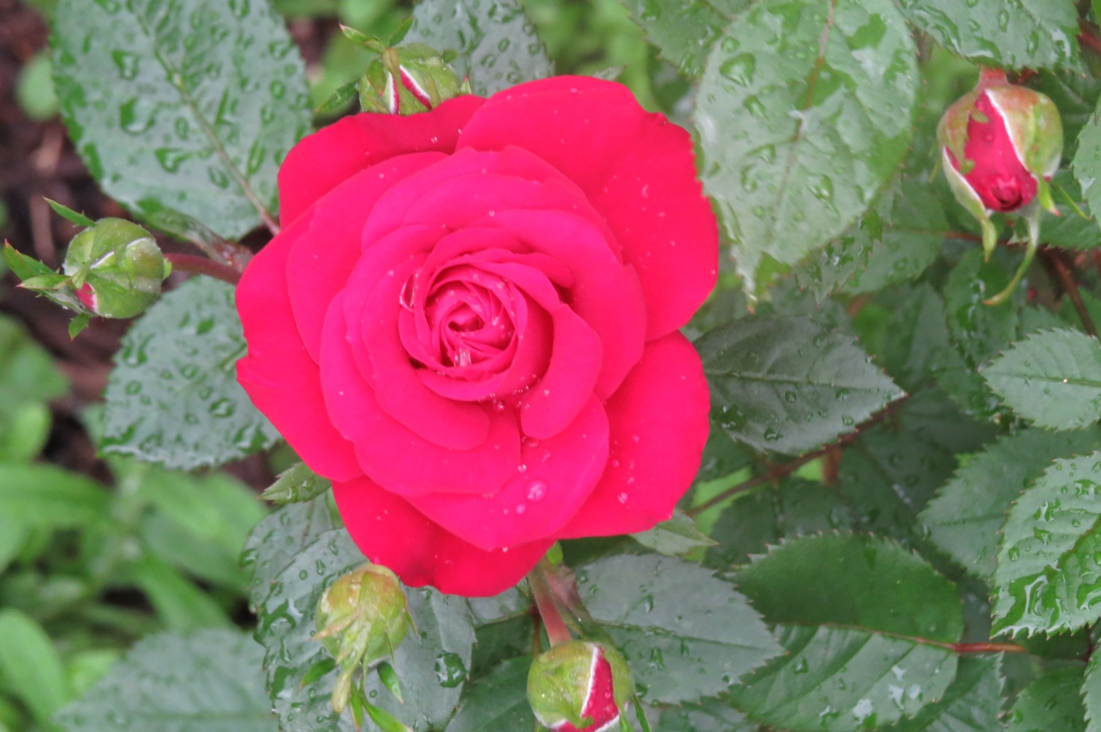 A Rose is a Rose is a Rose by janet.fisher.503