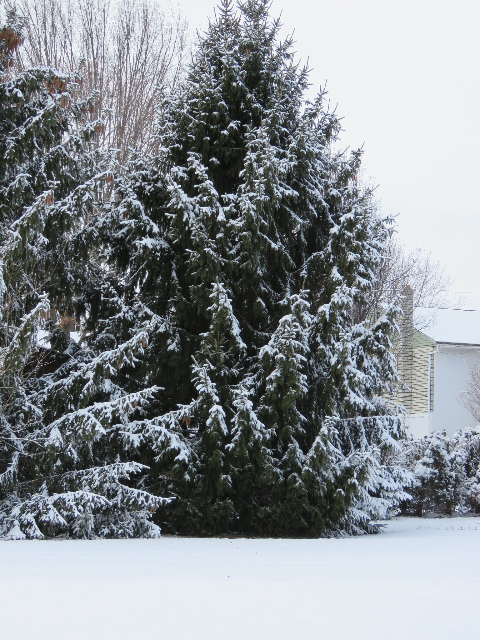 Snow Covered Pine Trees by janet.fisher.503