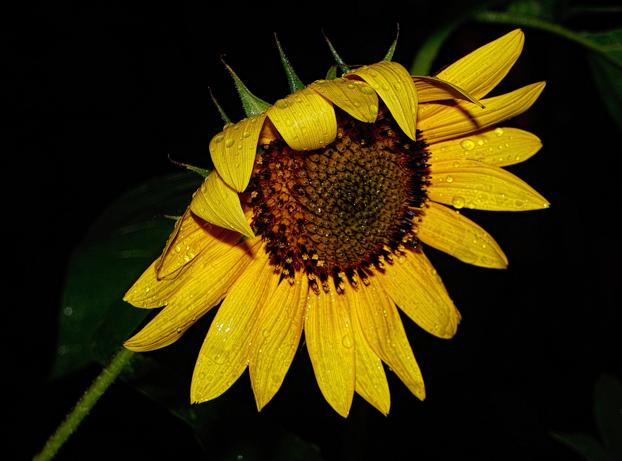 Sunflower by Steven R. Humphrey