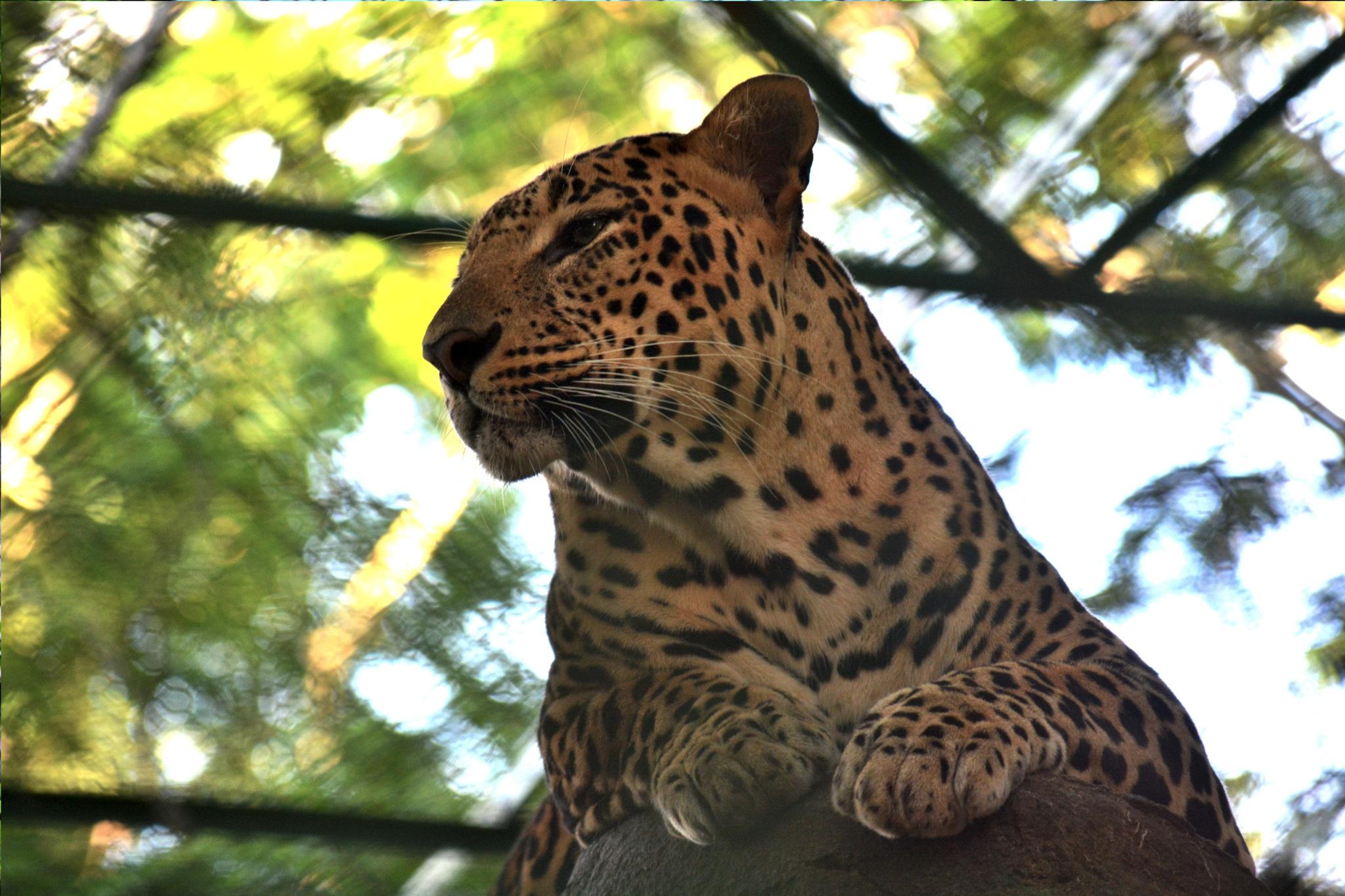 Tiger by nisharahamed7