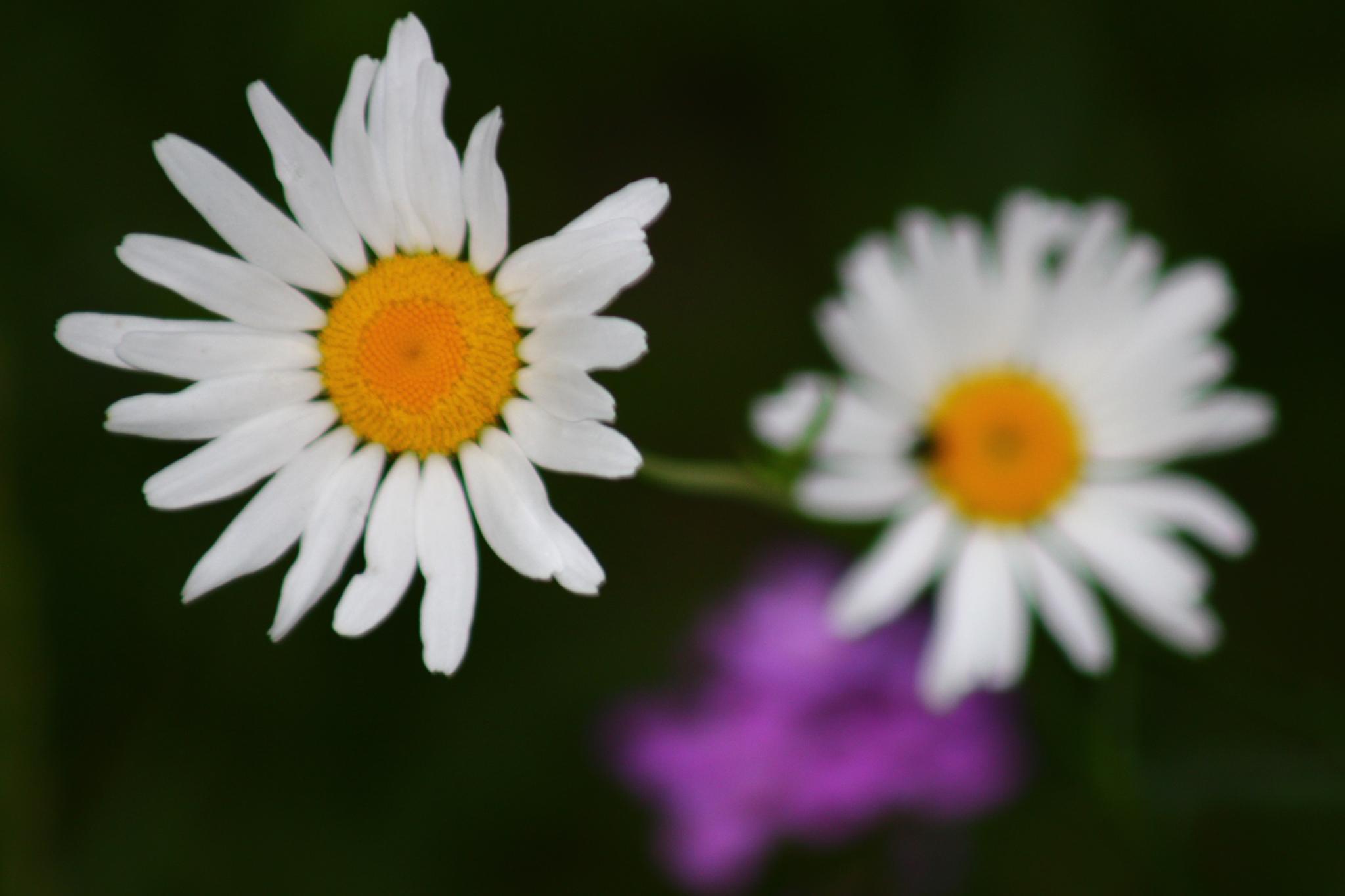 Daisy by jennifer.krieble
