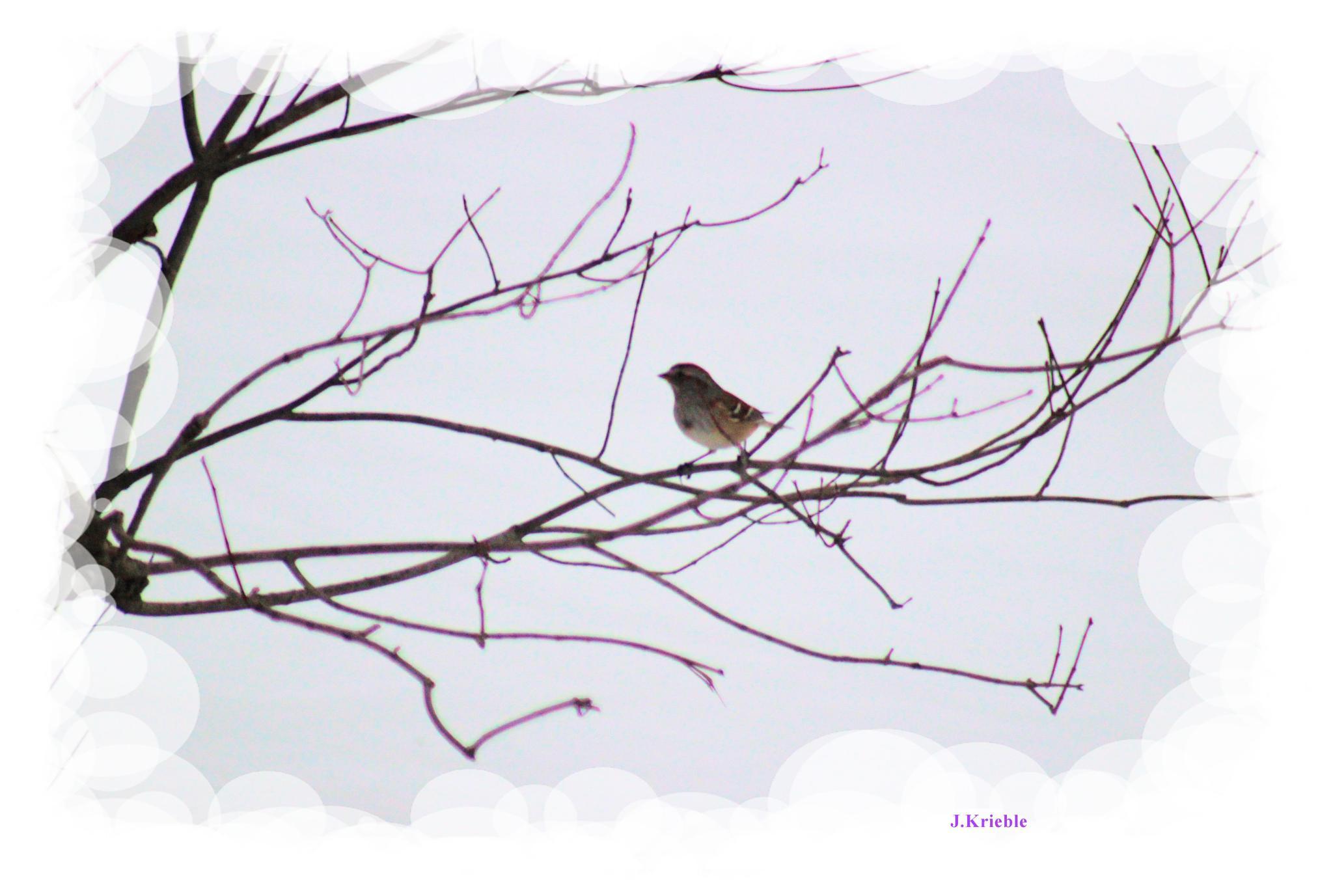 Song Sparrow by jennifer.krieble