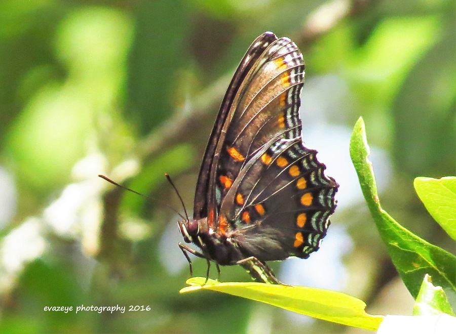 Red-spotted Purple butterfly by eva.frost.18