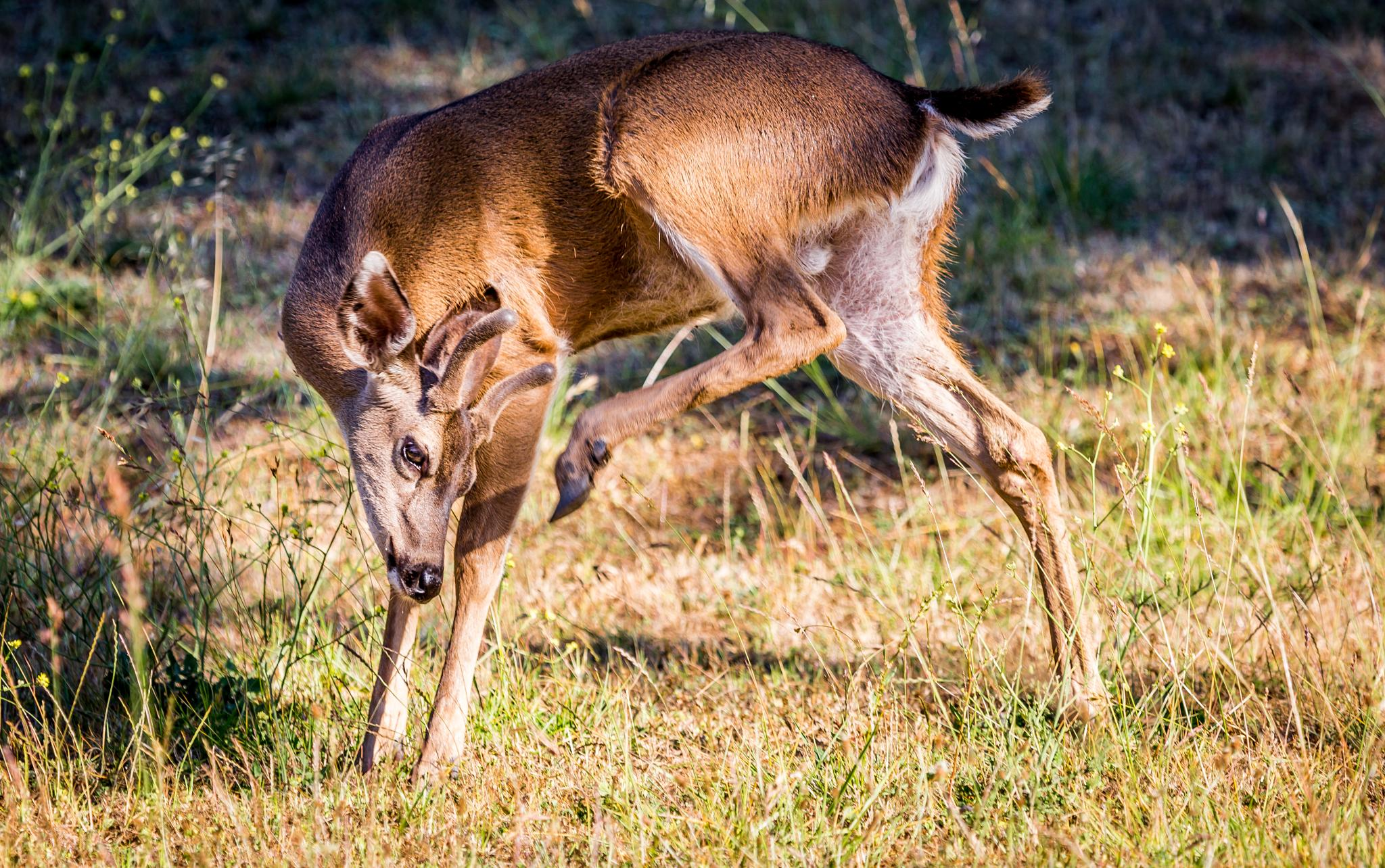 White-tailed Deer by tony.saad