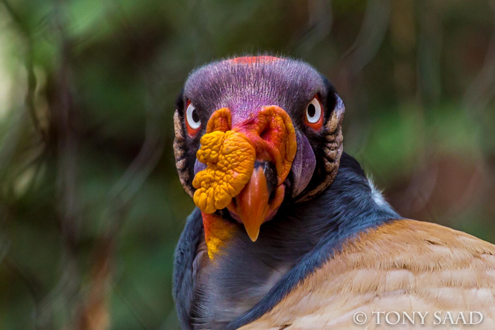 King Vulture by tony.saad
