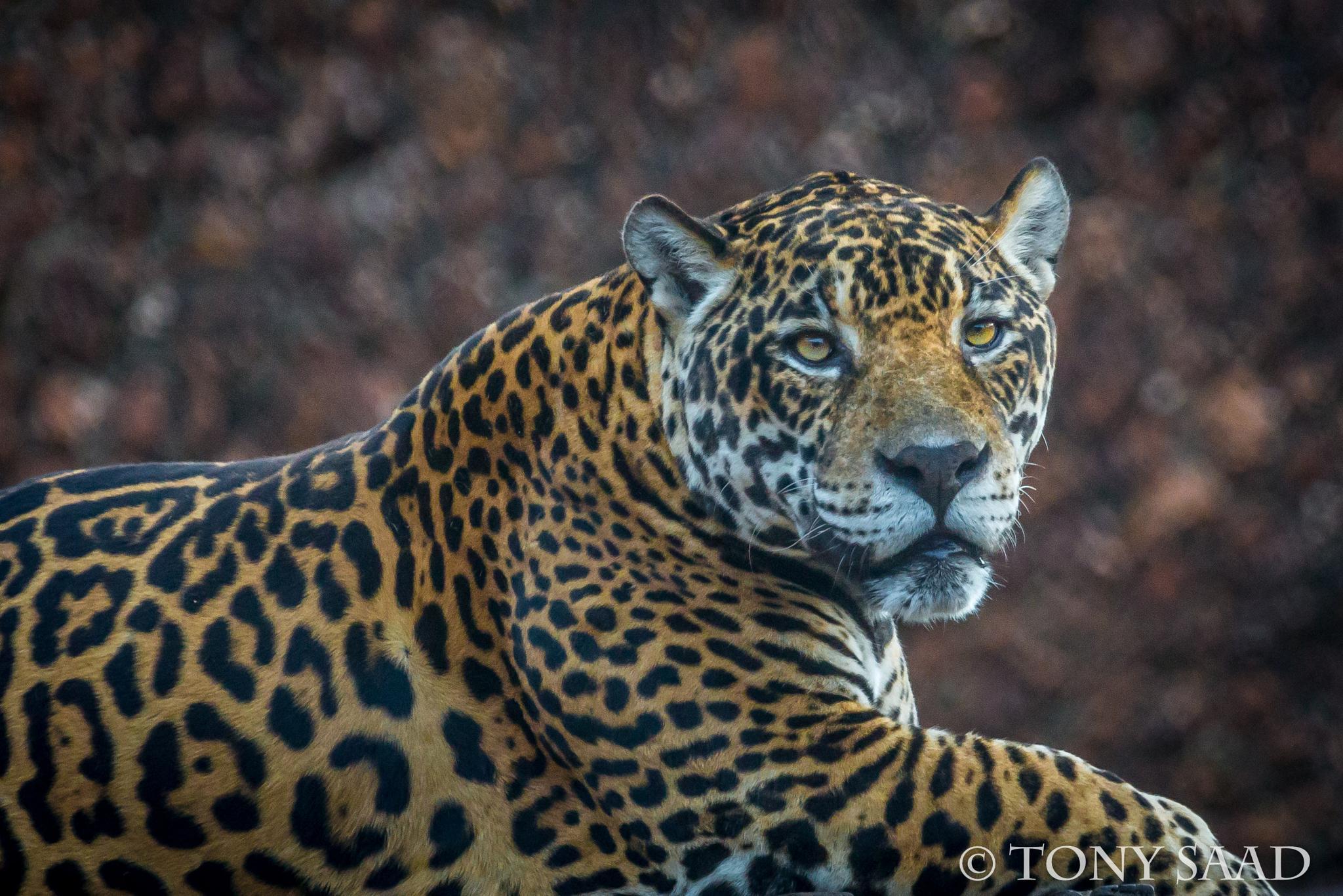 Jaguar - Onça Pintada by tony.saad