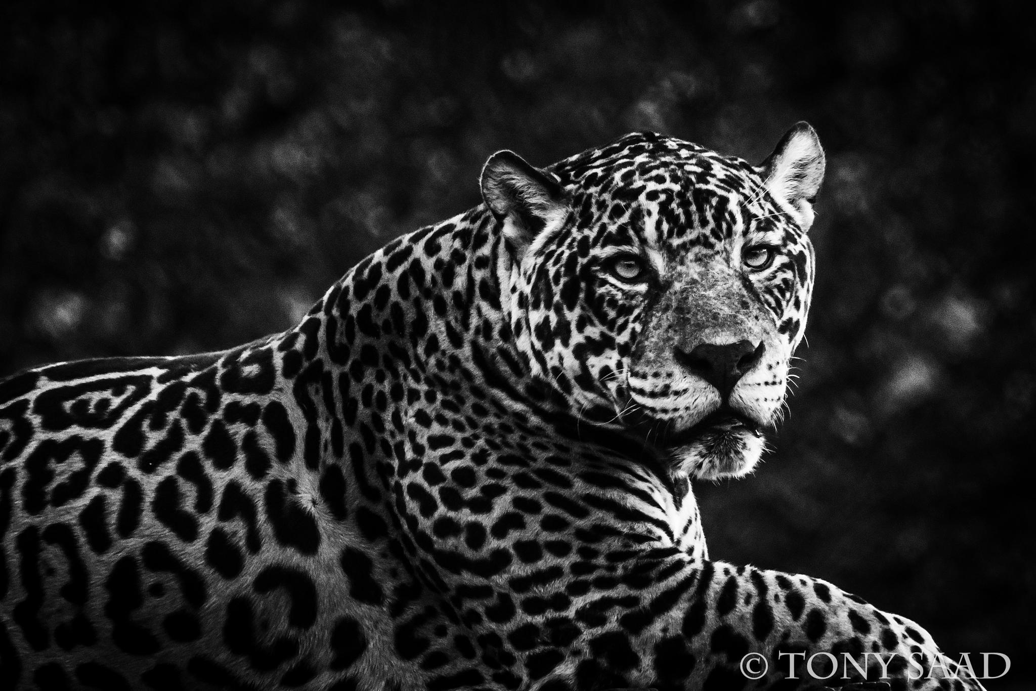 Photo in Animal #jagar #nature #animal #cat