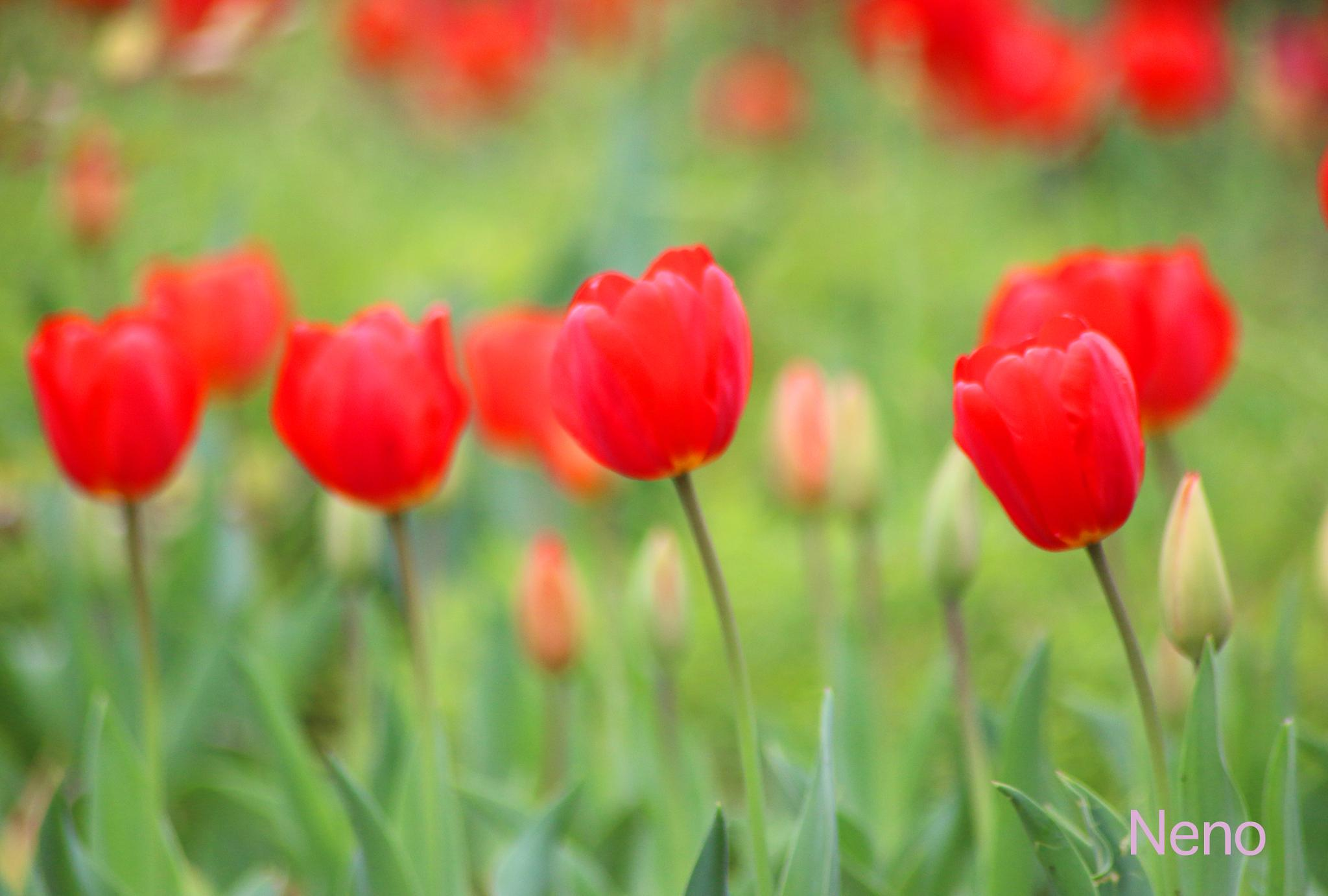 Photo in Landscape #red tulips #landscape #beauty #spring #nature