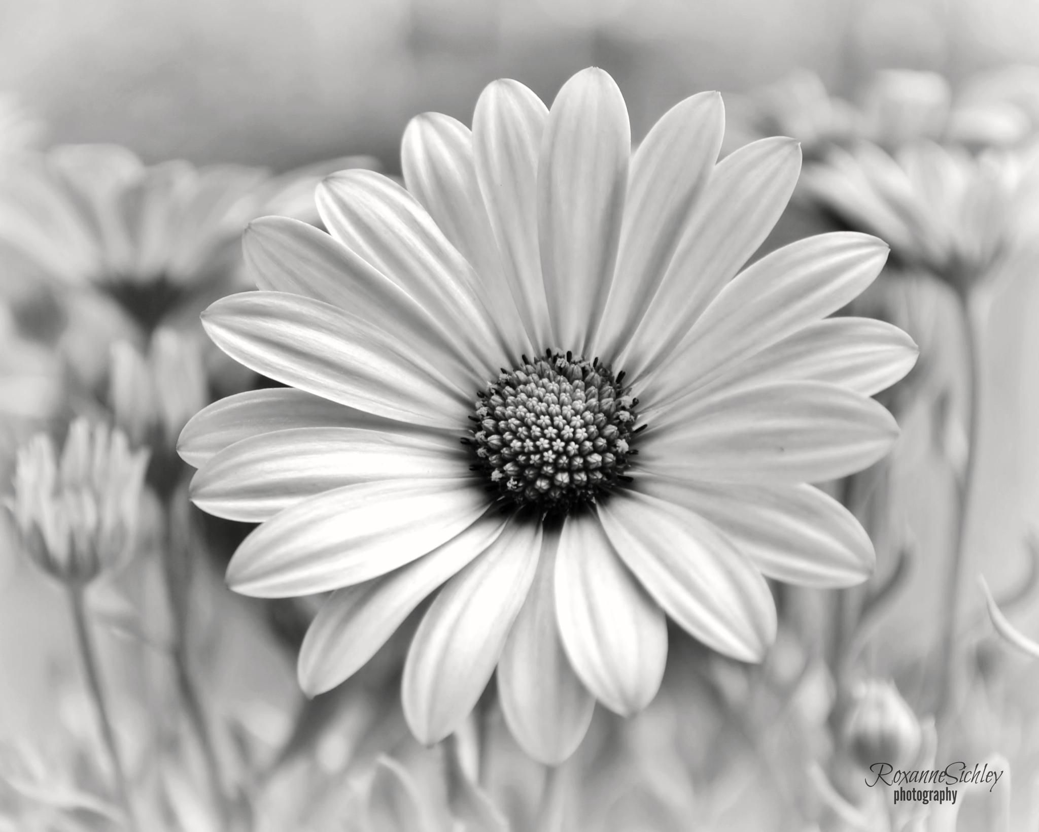 Photo in Random #black and white #daisy #flower #summer #petals