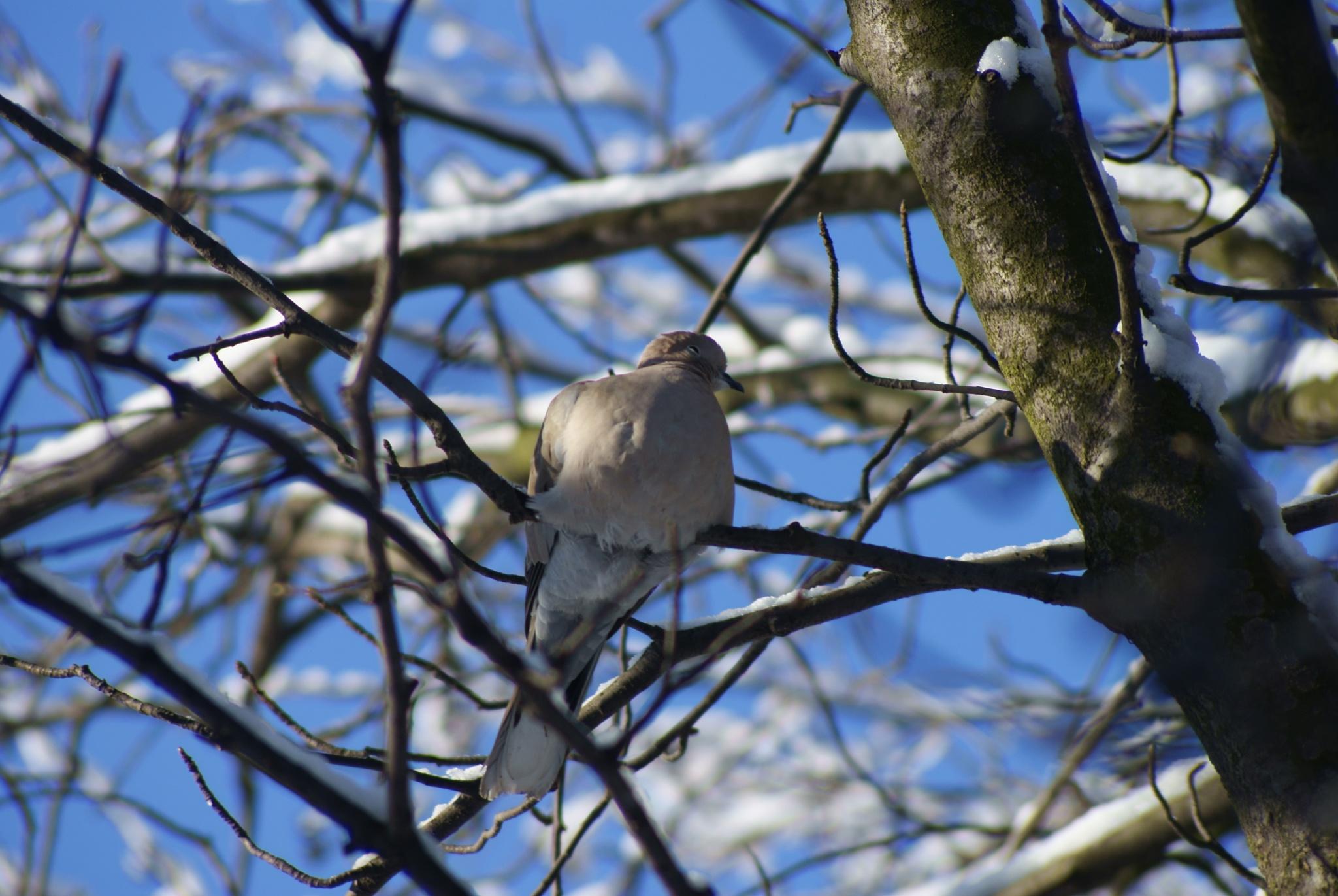 pigeon by mironik202