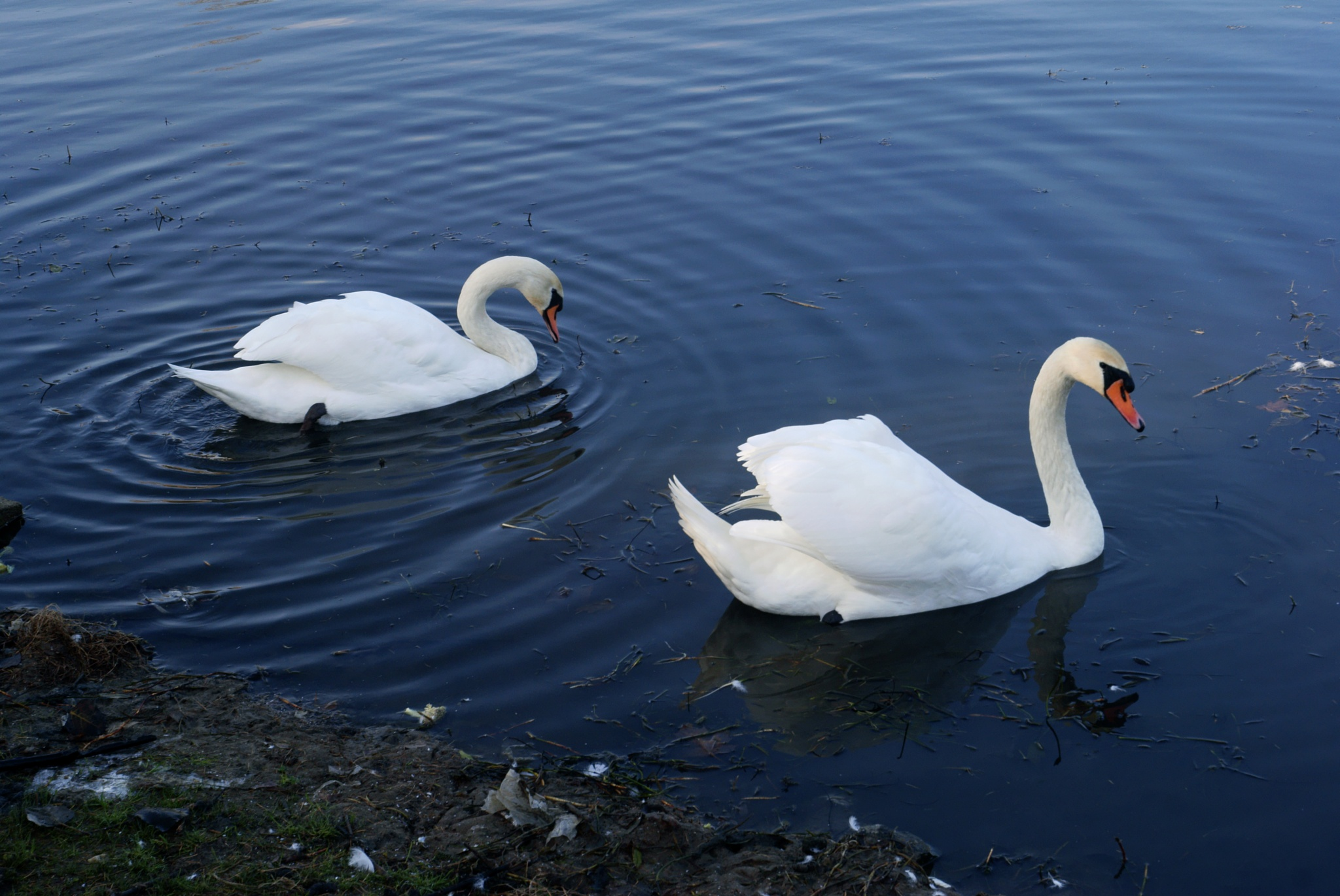 swans by mironik202