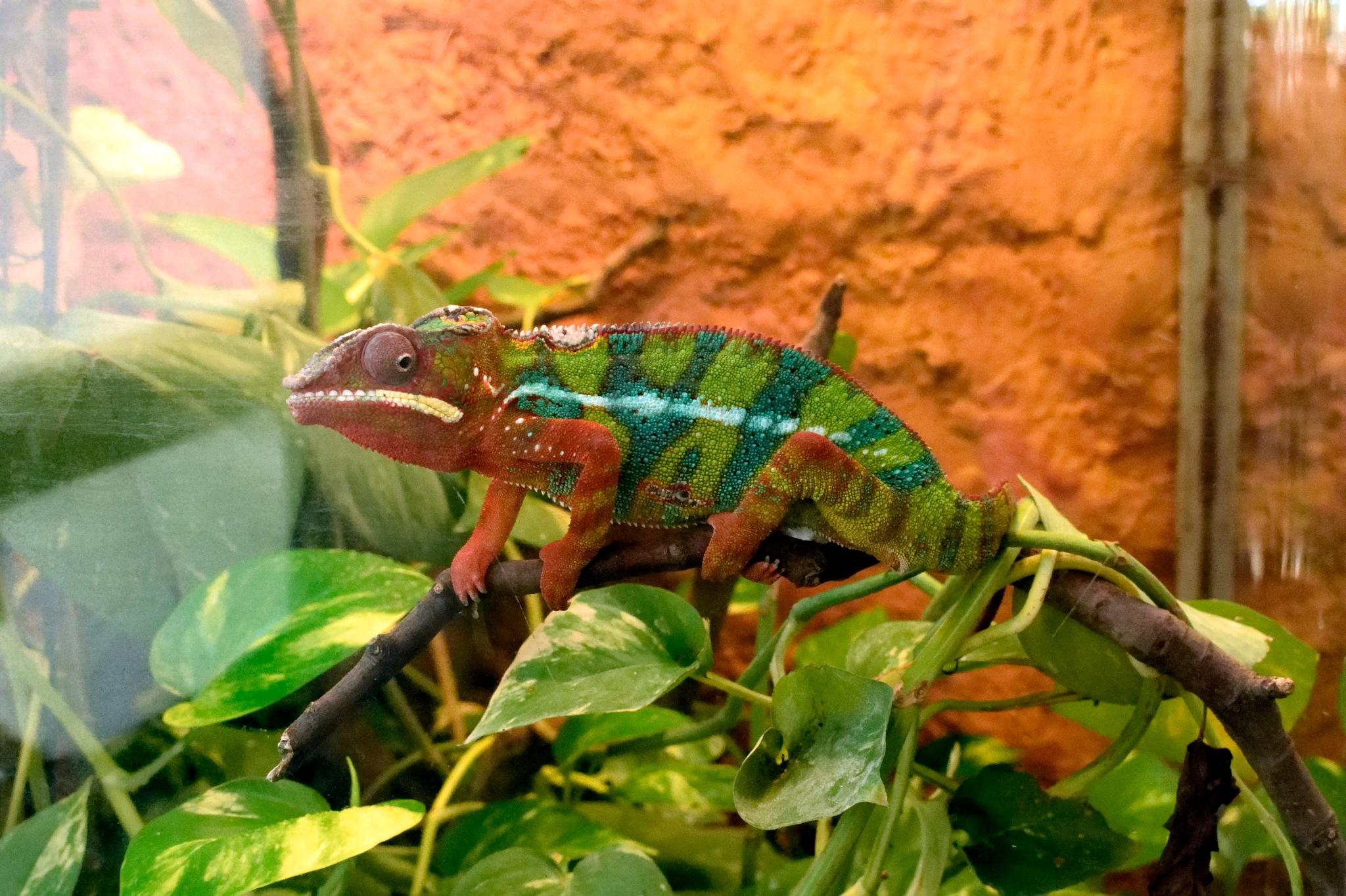 Chameleon by mironik202