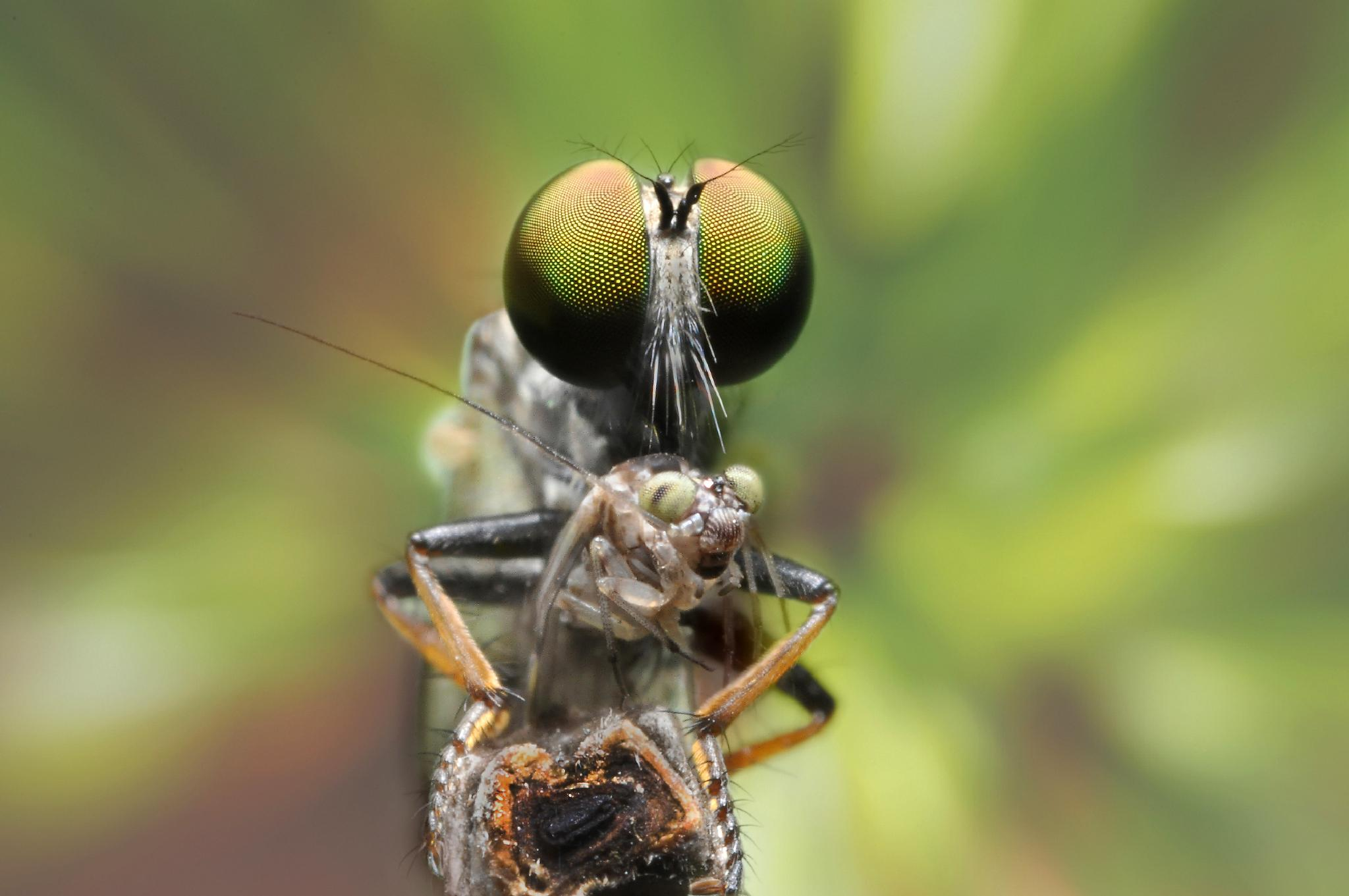 Robber fly with prey by damrongrat