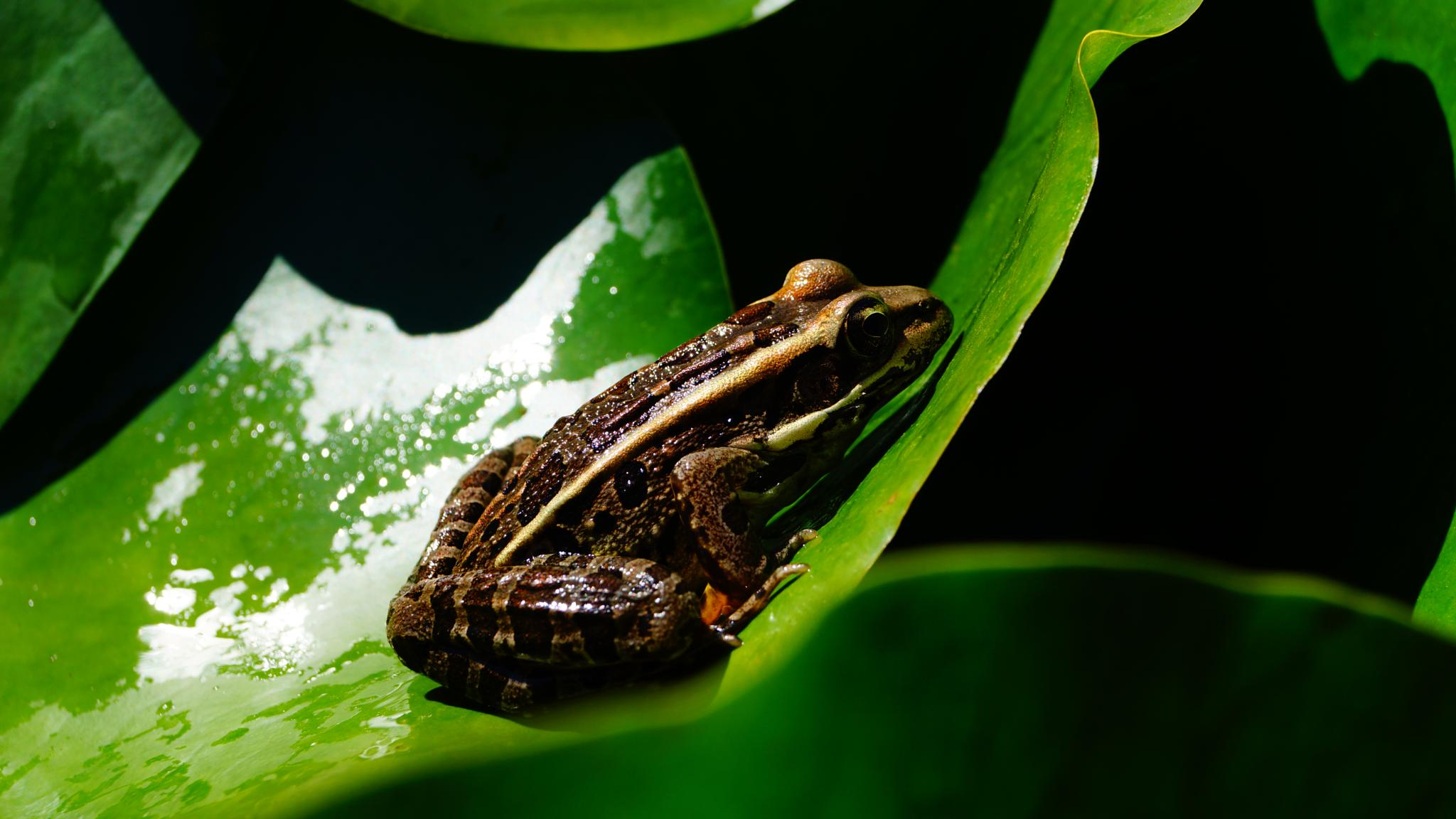 Big Frog at a different view   by Jutta Angelika Reed