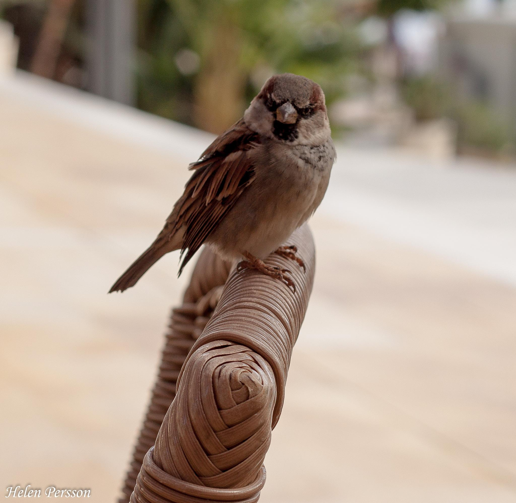 Sparrow watching me by helen.persson.564