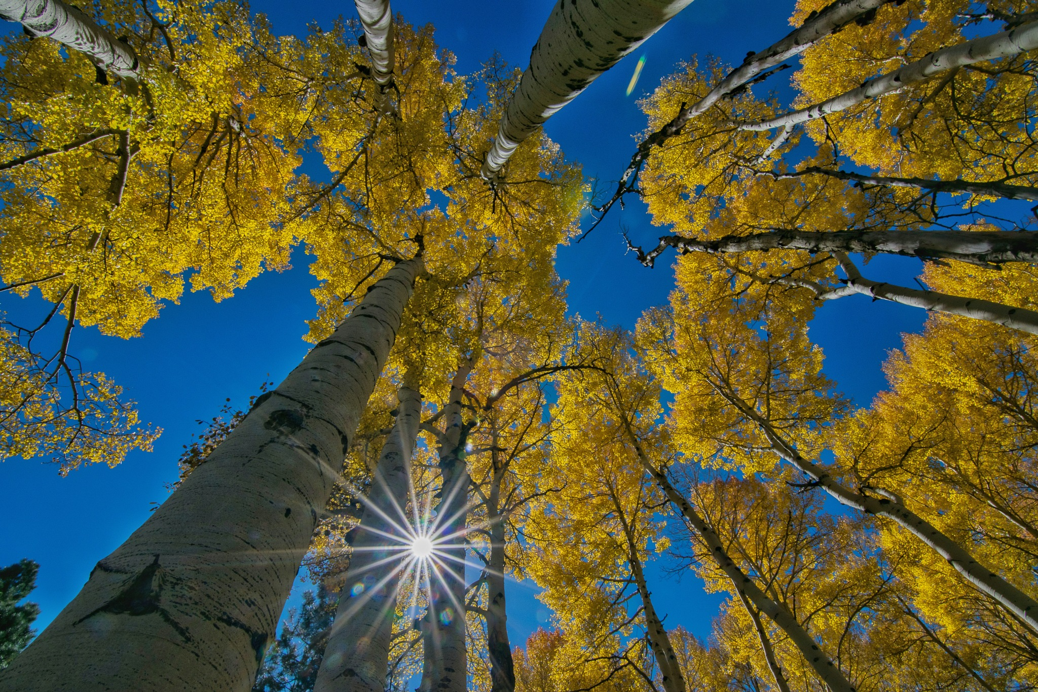 Golden Aspens in the Arizona High Country by Andy Dilling