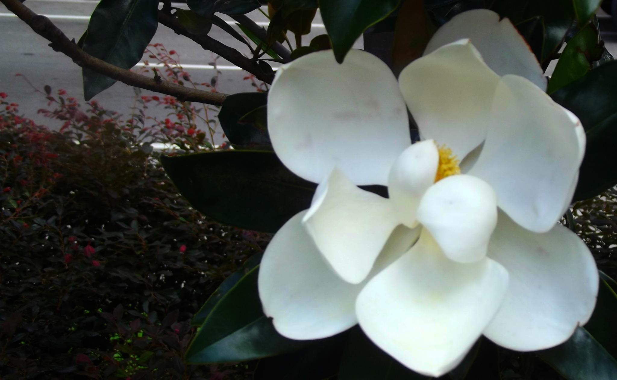 Magnolia Blossom by betZ editZ