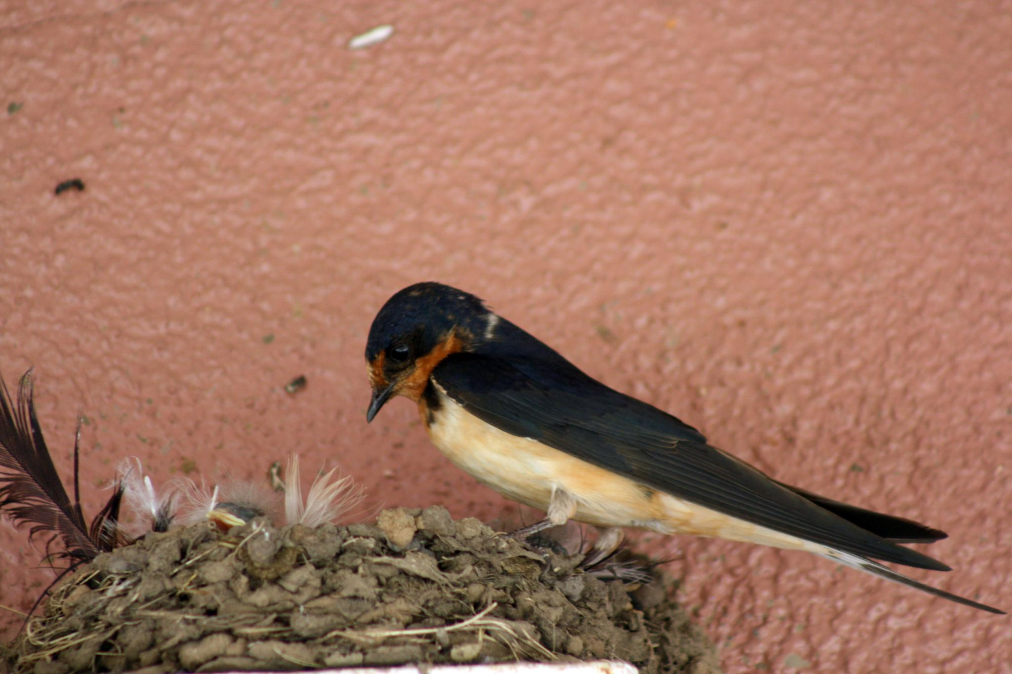 Photo in Animal #birds #chick #swallow