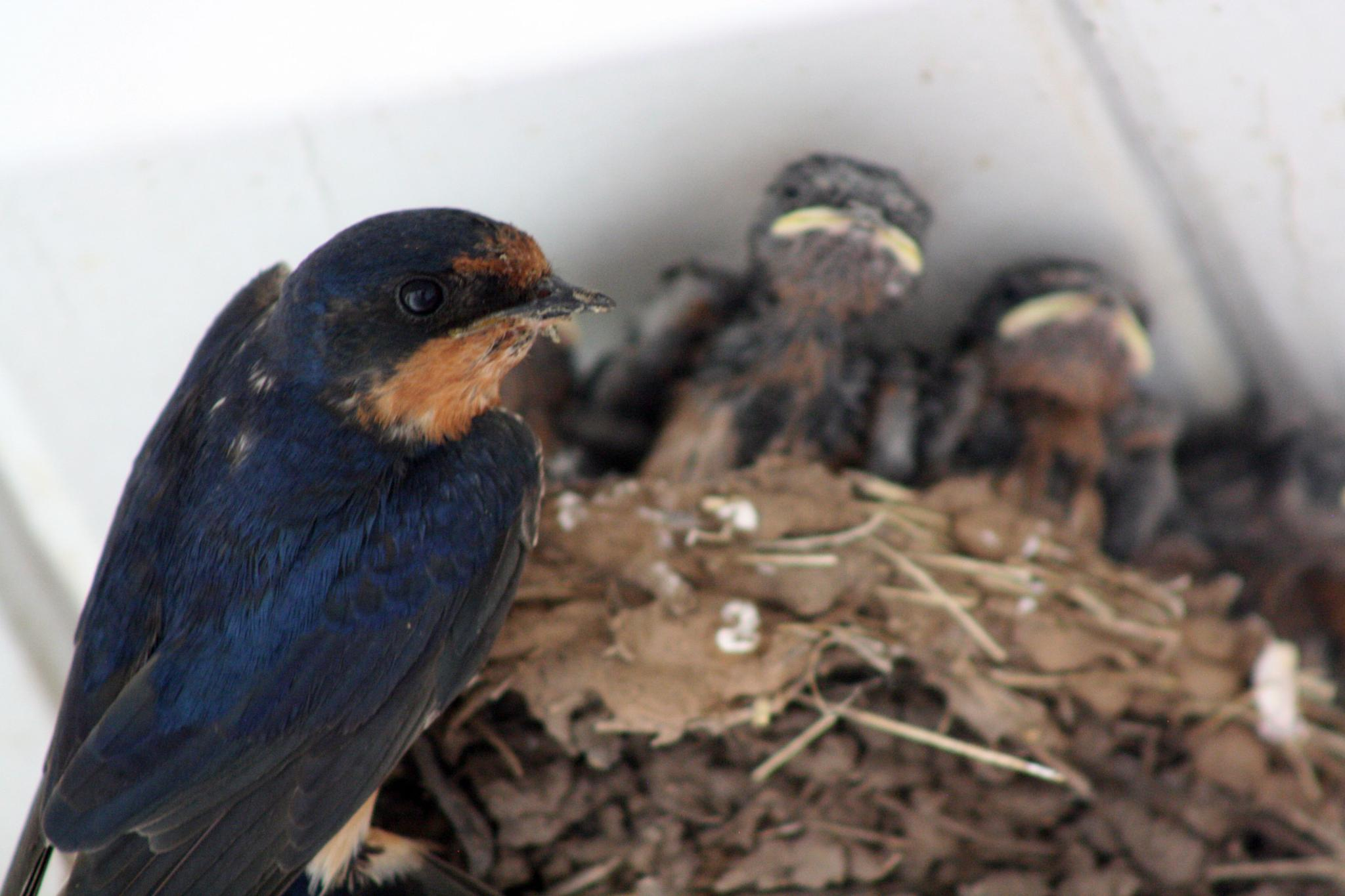 Photo in Animal #bird #chicks #swallow