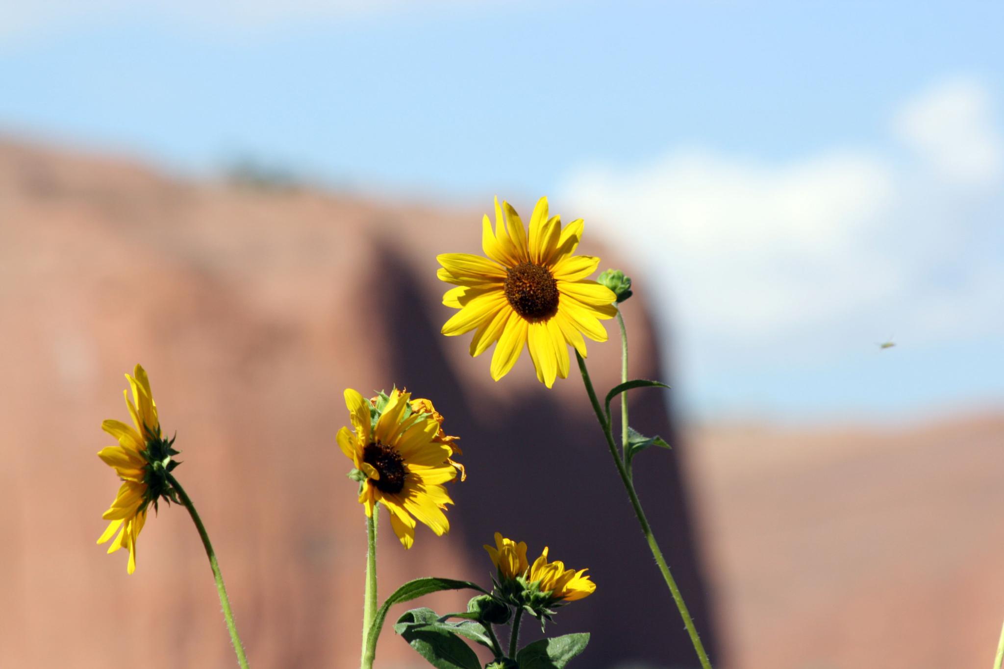 The Desert Sunflower by Leandra MH Stewart