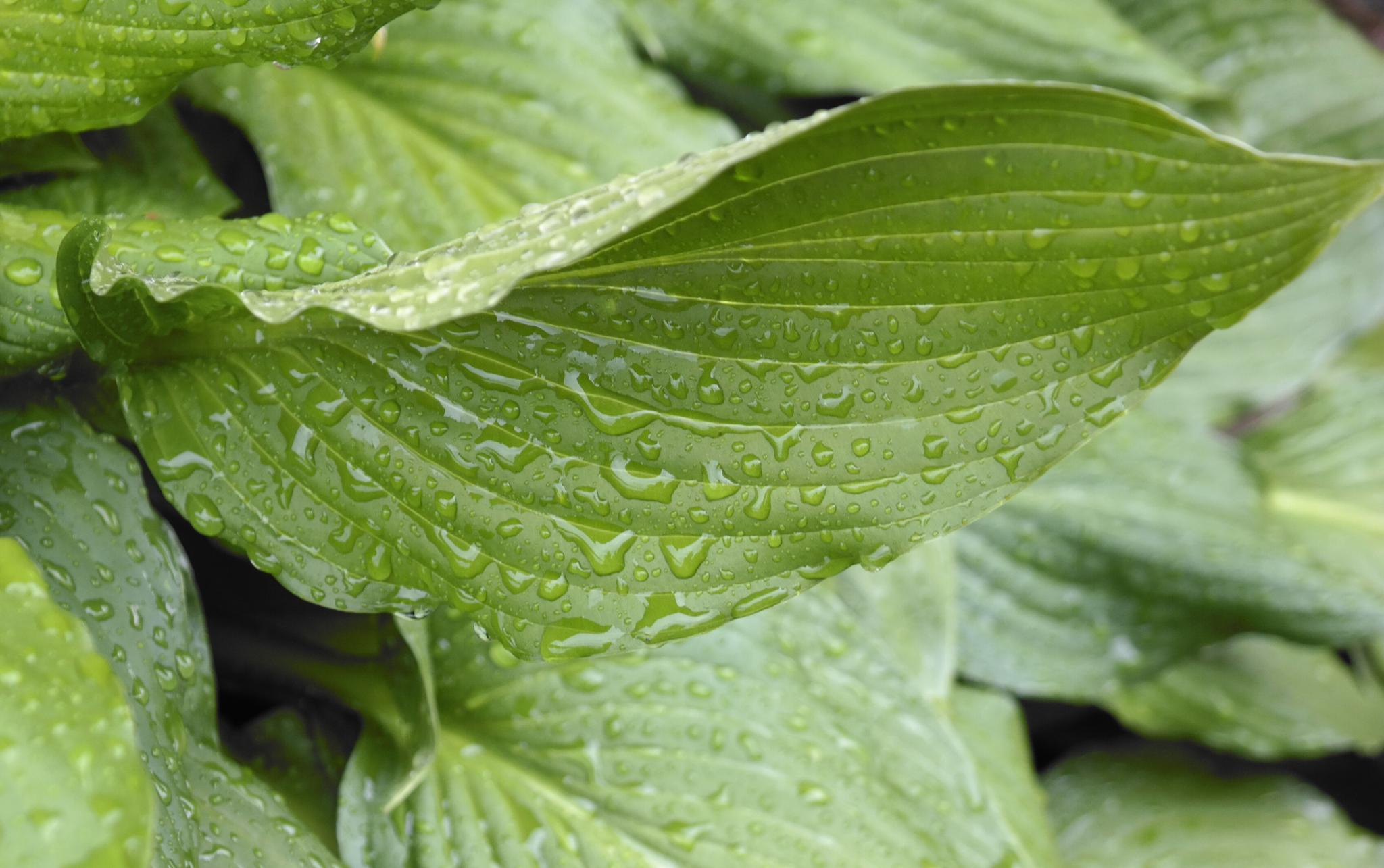 Wet Hosta Leaves by nstephensking