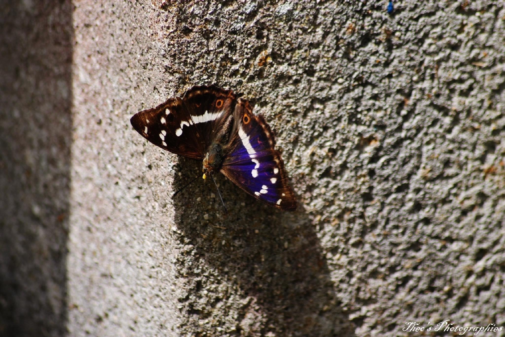 Petit mars changeant (Apatura ilia ilia) by theocaramel54