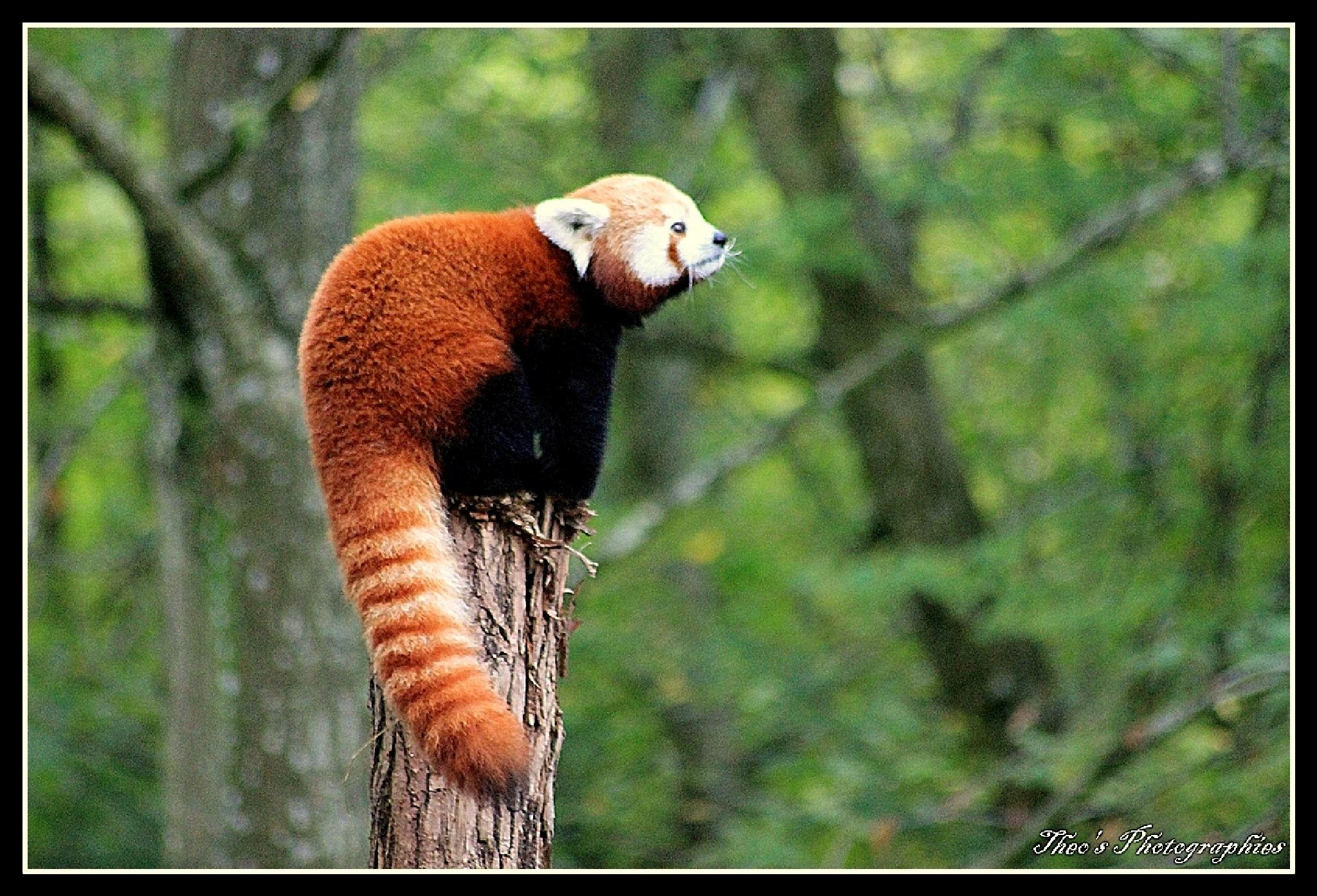 panda roux by theocaramel54