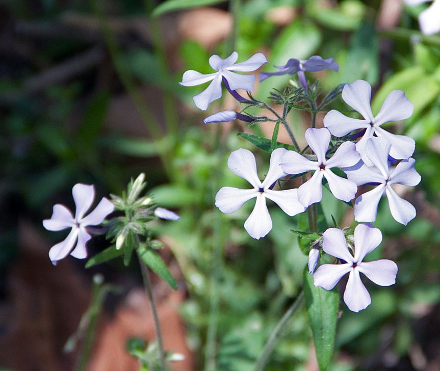 Wild Blue Phlox by blee