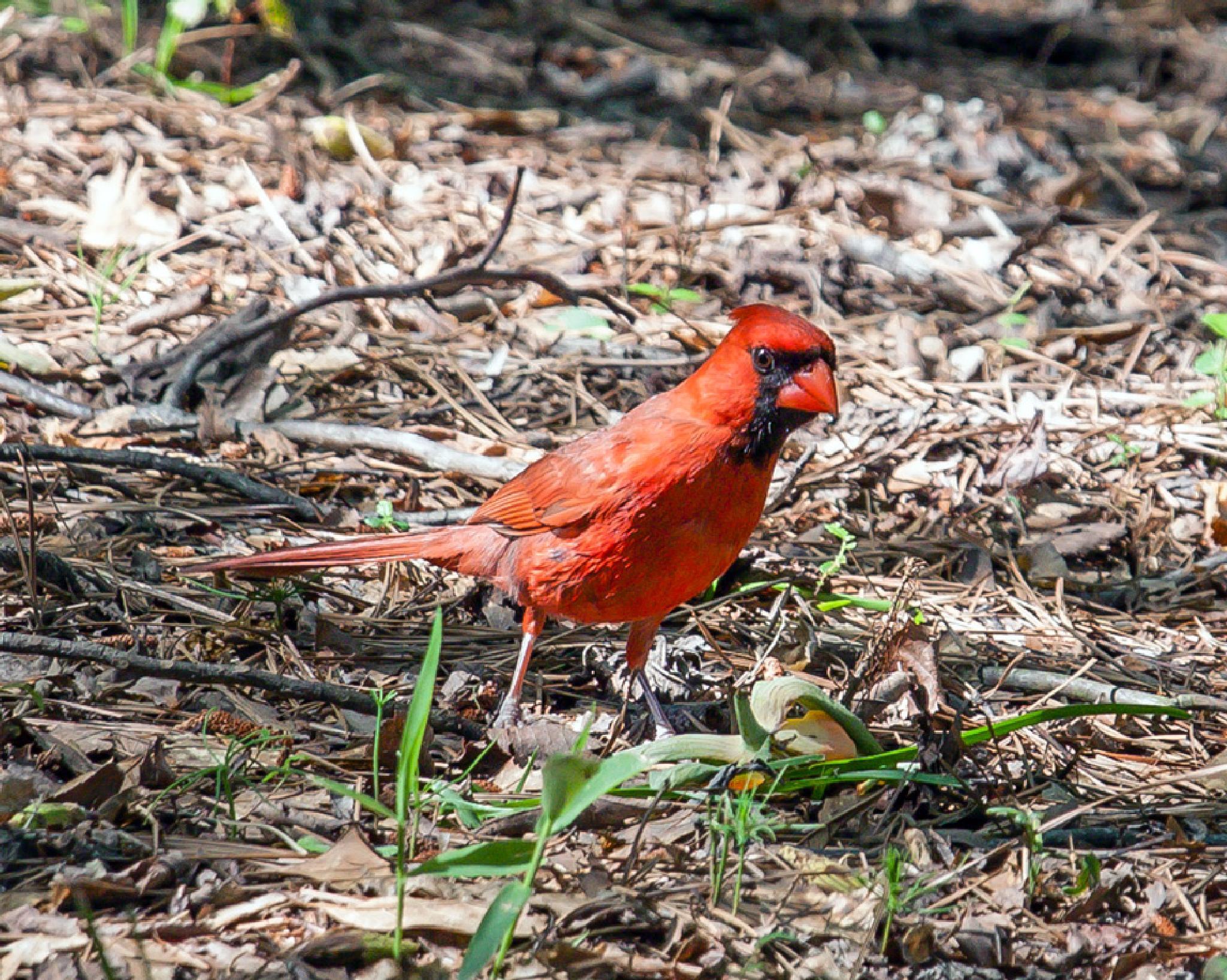 Regal Cardinal by blee
