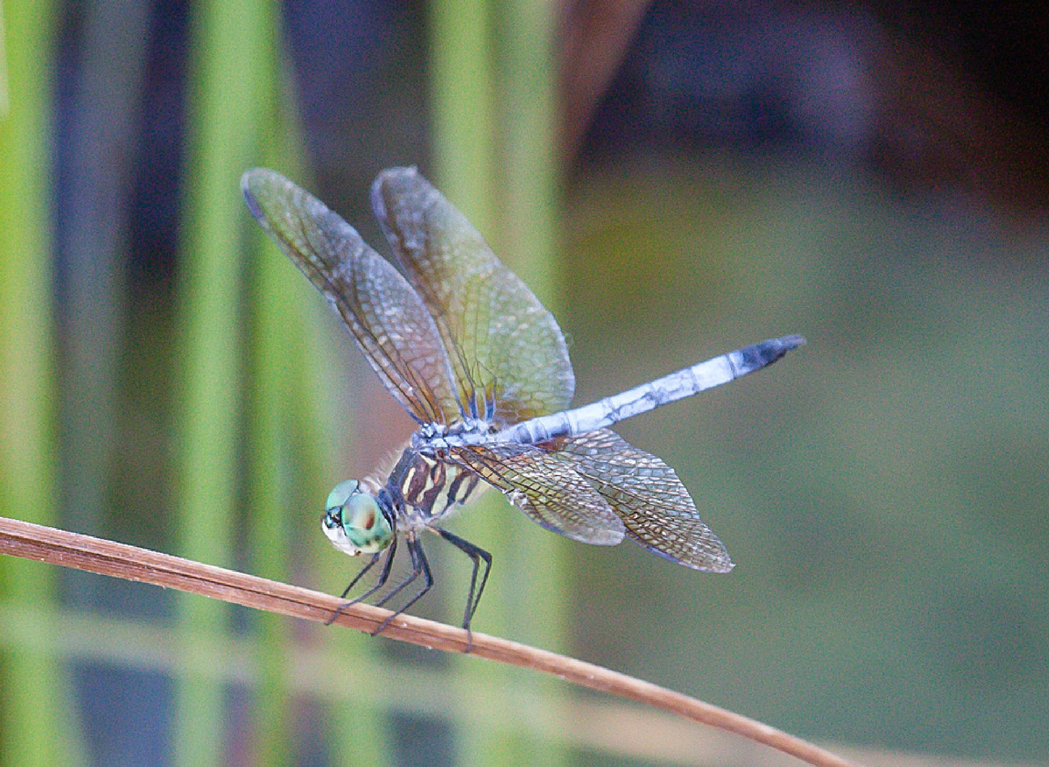 Dragonfly by blee