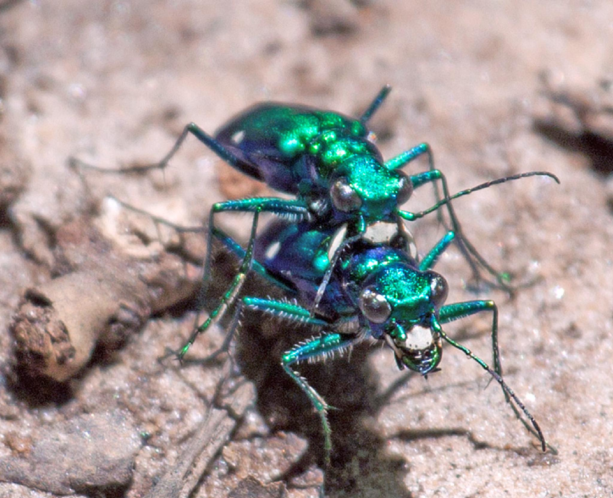 Six-Spotted Green Tiger Beetle by blee