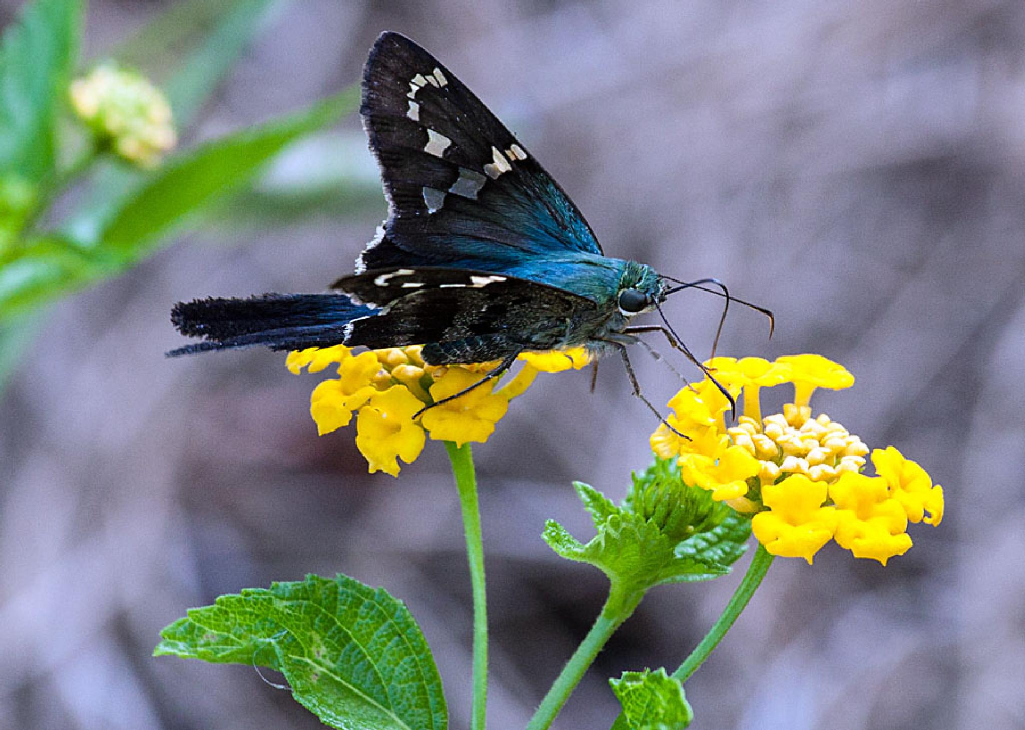 Long-tailed Skipper by blee