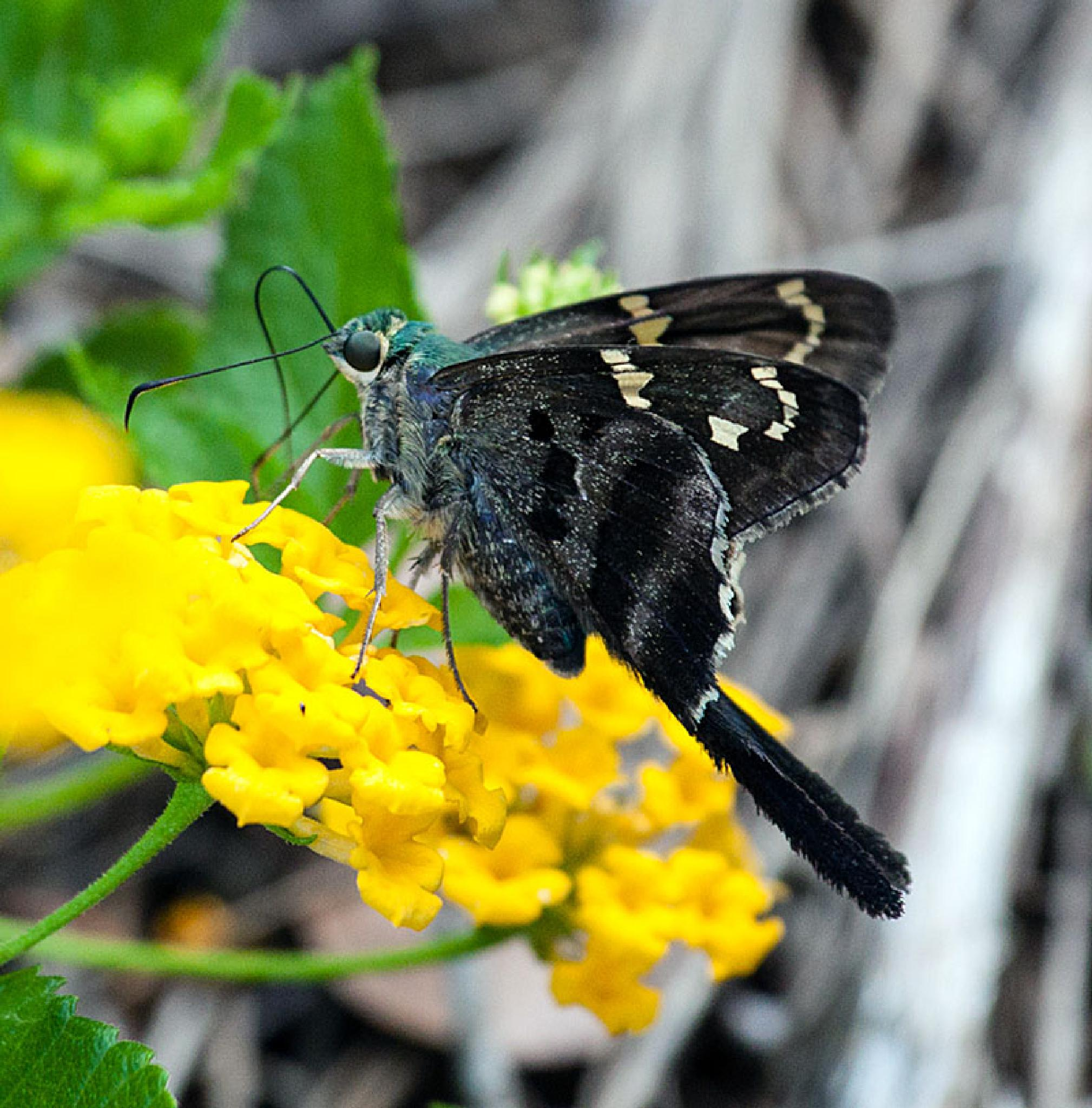 Long-Tailed Skipper Butterfly by blee