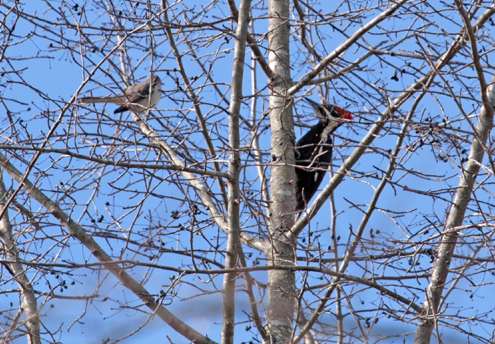 Pileated Woodpecker by blee