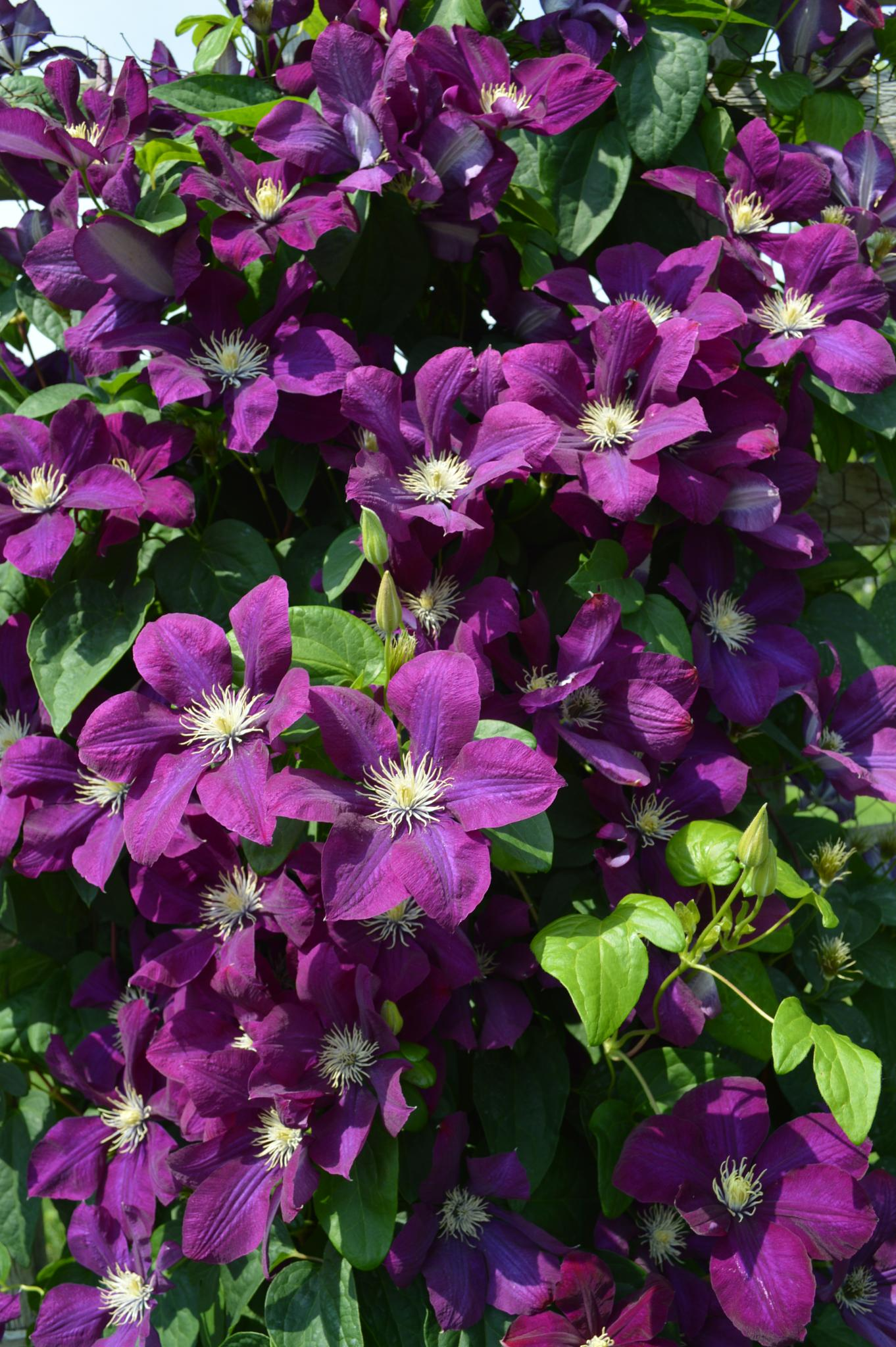 Photo in Nature #flowers #clematis #nature #landscape