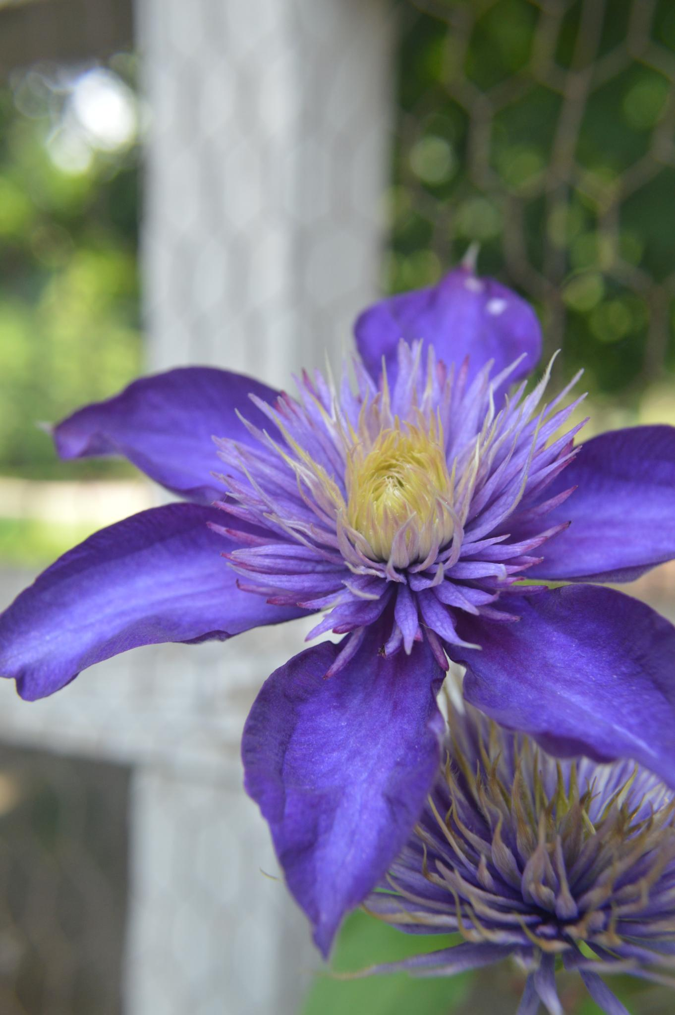 Another Purple Clematis by CLCampbell