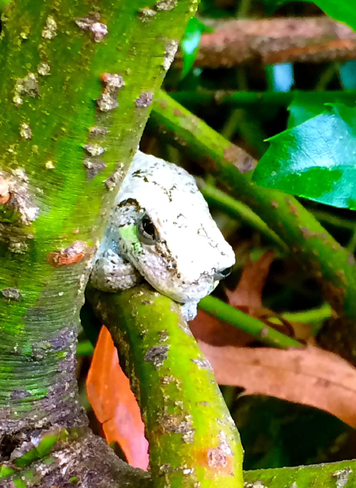 North American Grey Tree Frog. by cathy.pepe.9