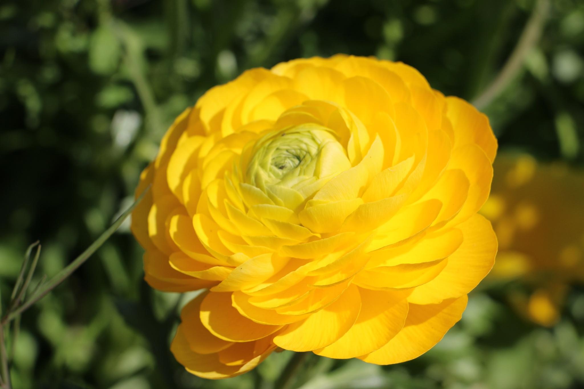sunshine  flower  by DAVatalaro