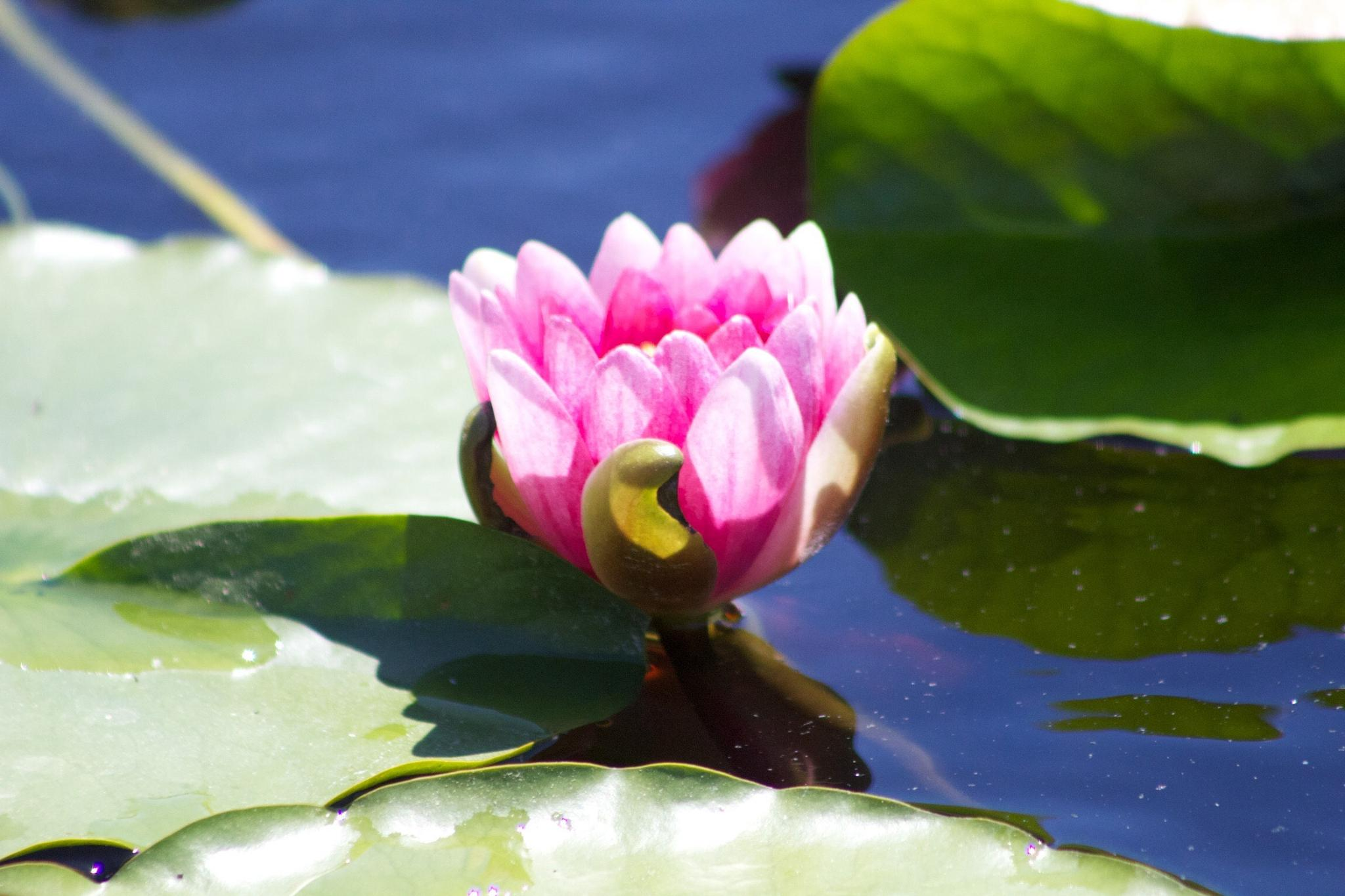Pink lotus by DAVatalaro