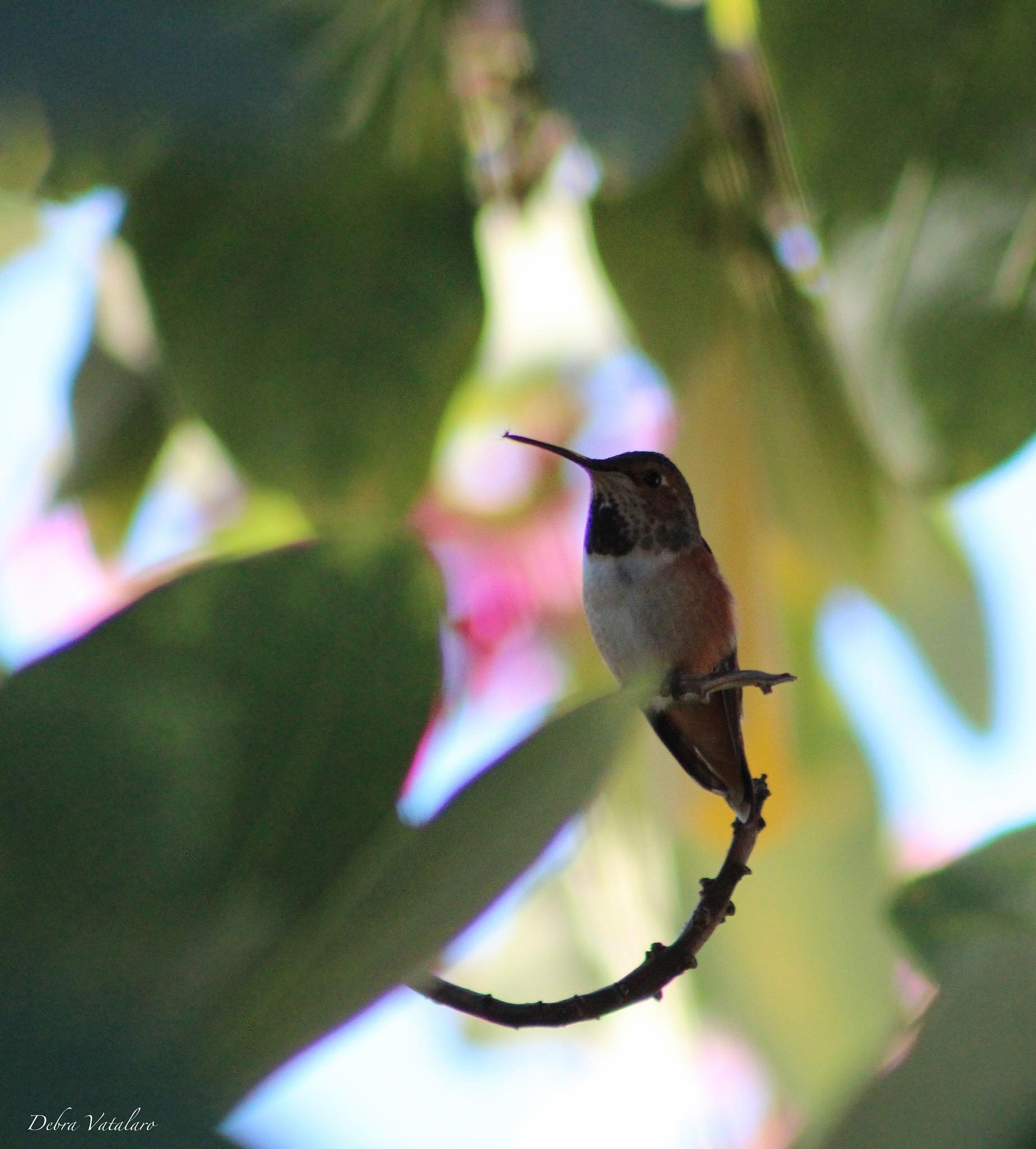 Hummingbird in the Hong Kong orchid by DAVatalaro