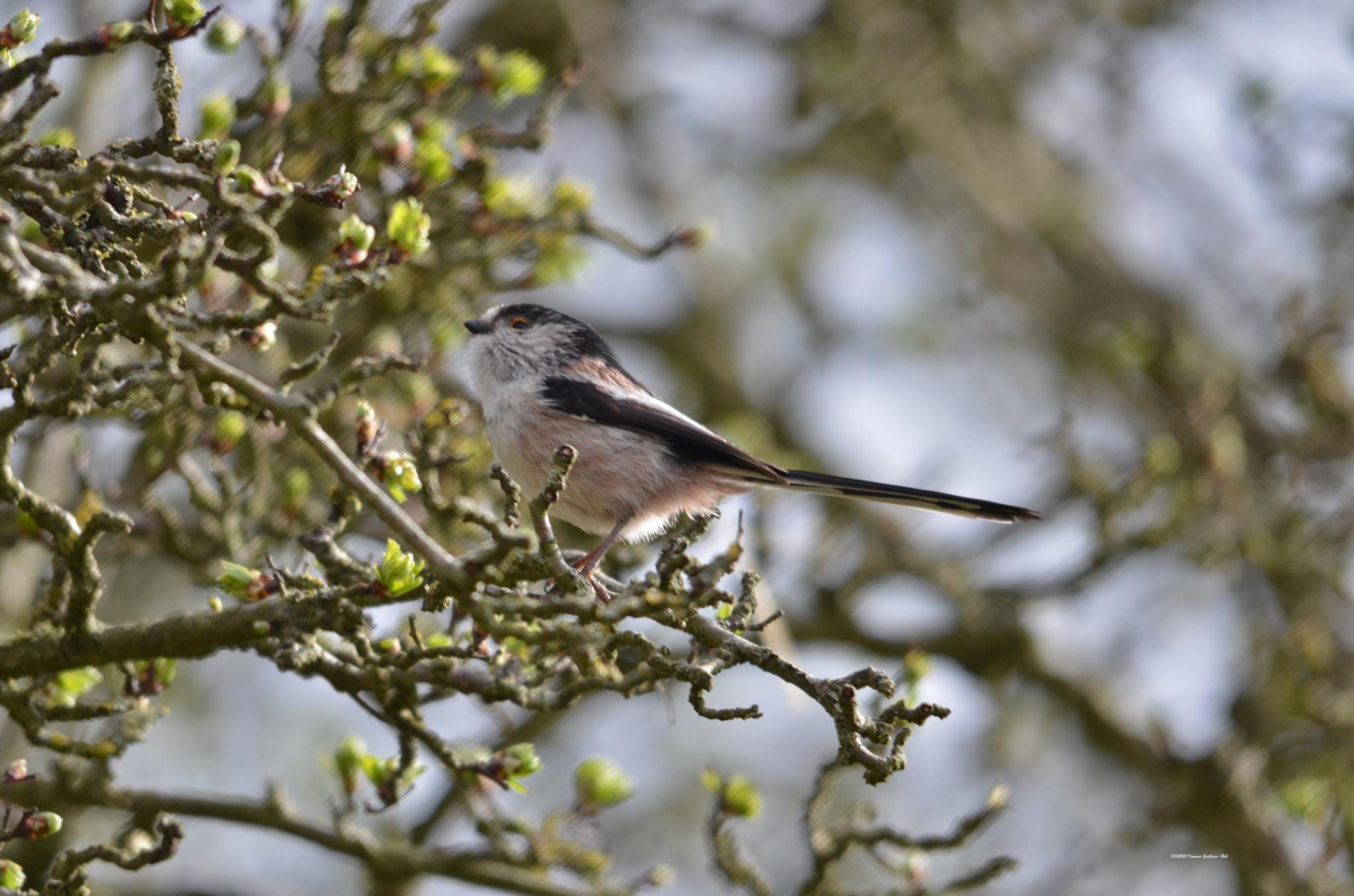 Long Tailed Tit by Dom Gwilliam-Bell