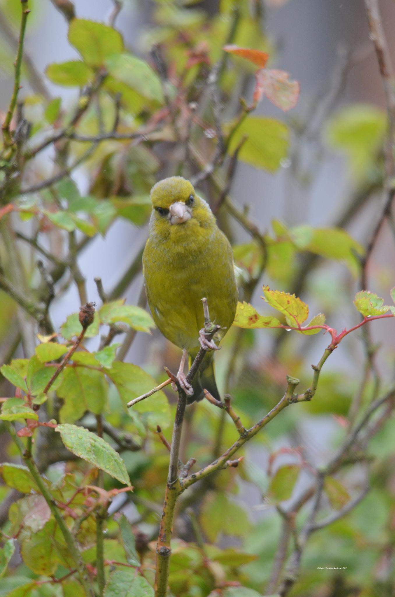 Green Finch in the Bush by Dom Gwilliam-Bell