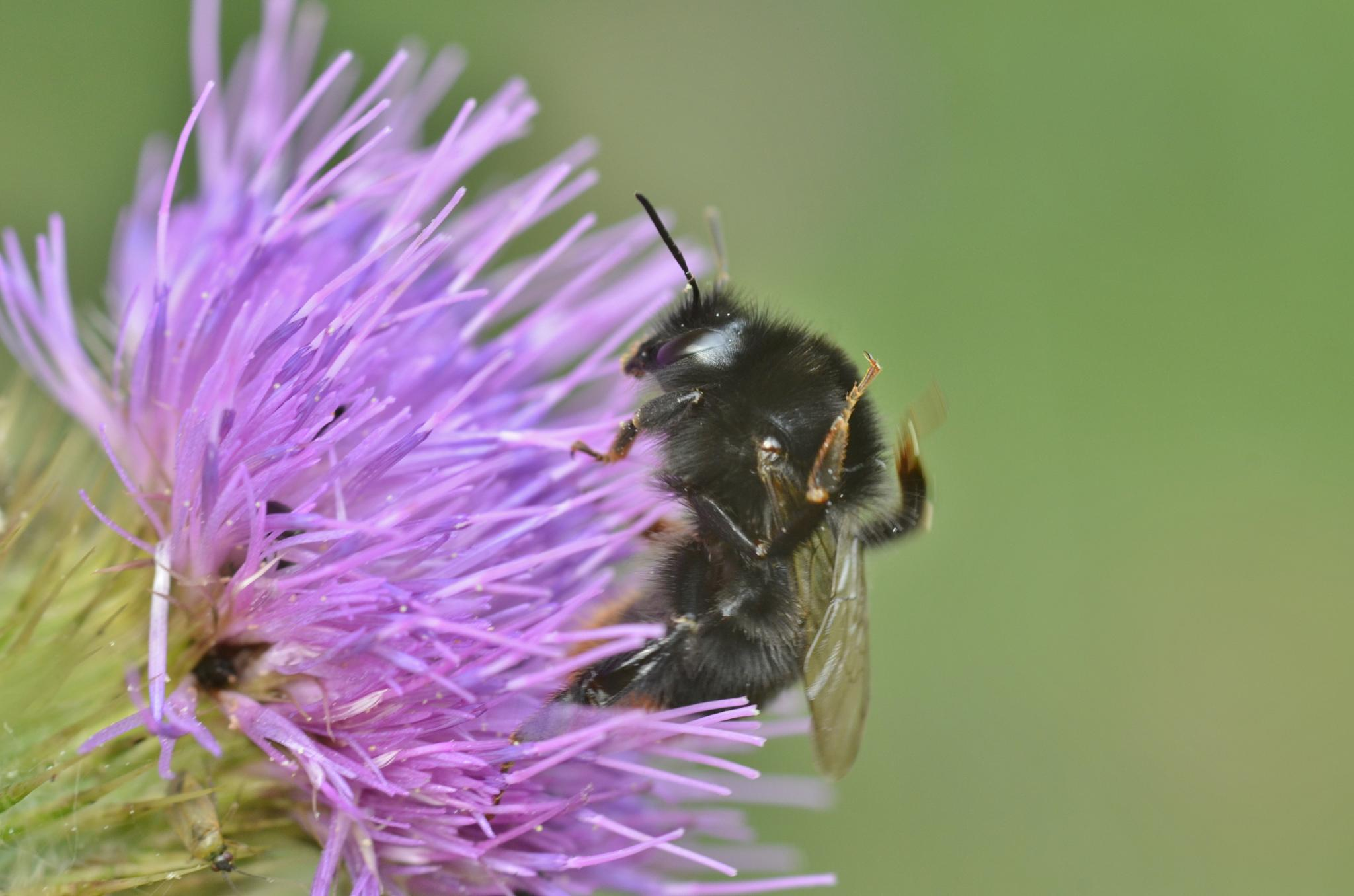 Red Tailed Bumble Bee by Dom Gwilliam-Bell
