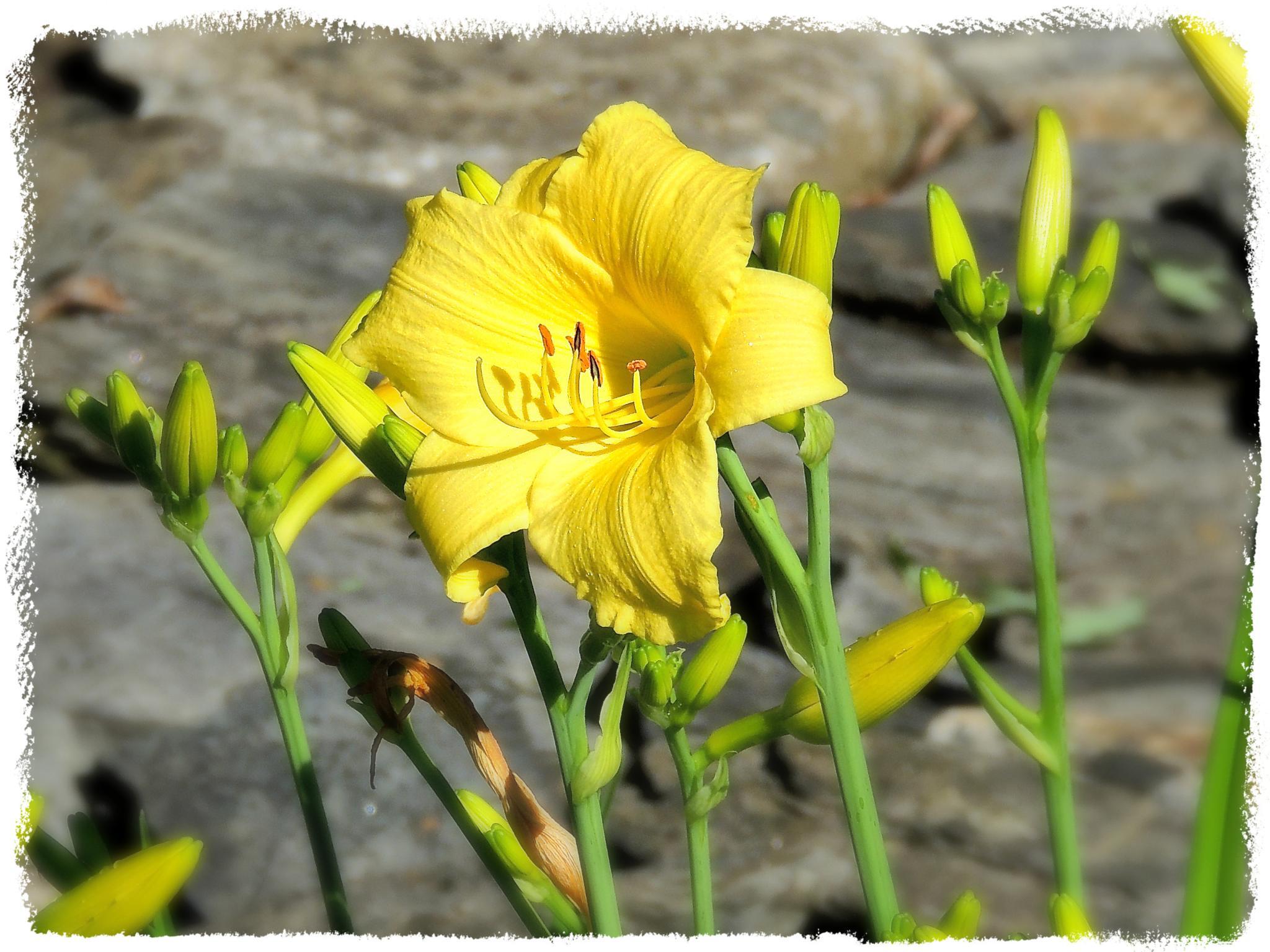 Lemon Lily by Dana Wiehl