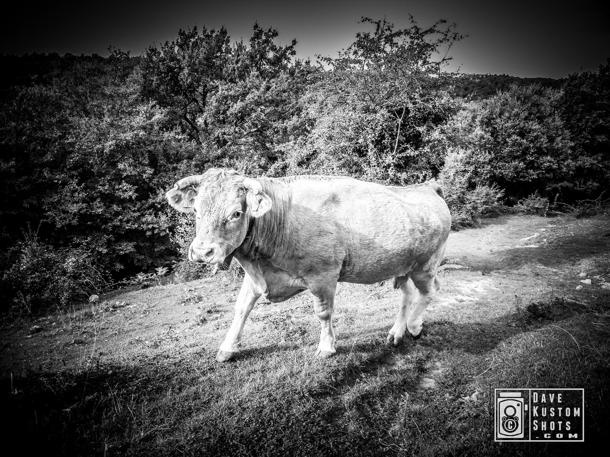 Cow / Vaca by Dave Kustom Shots